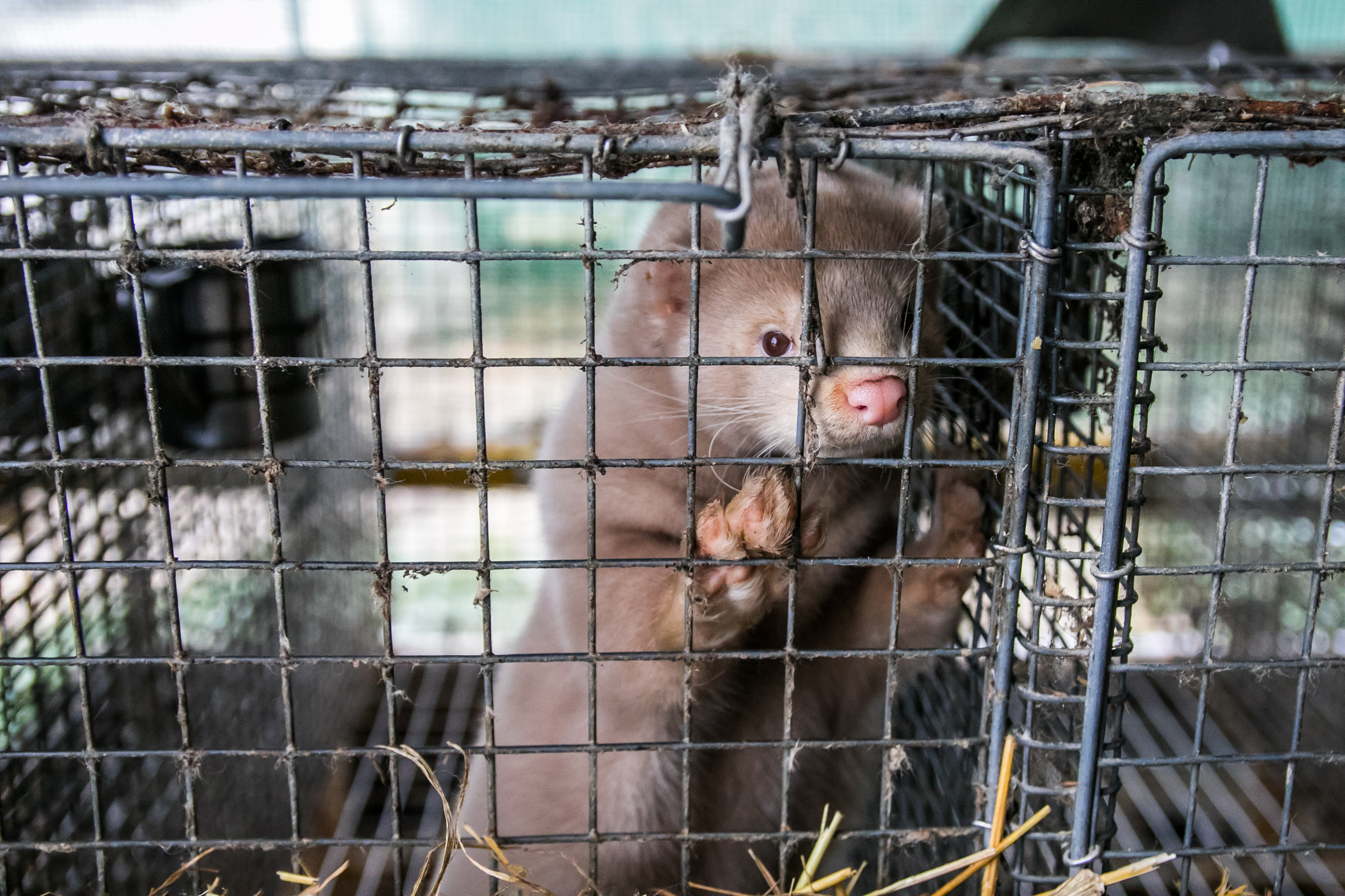 mink on cage in fur farm