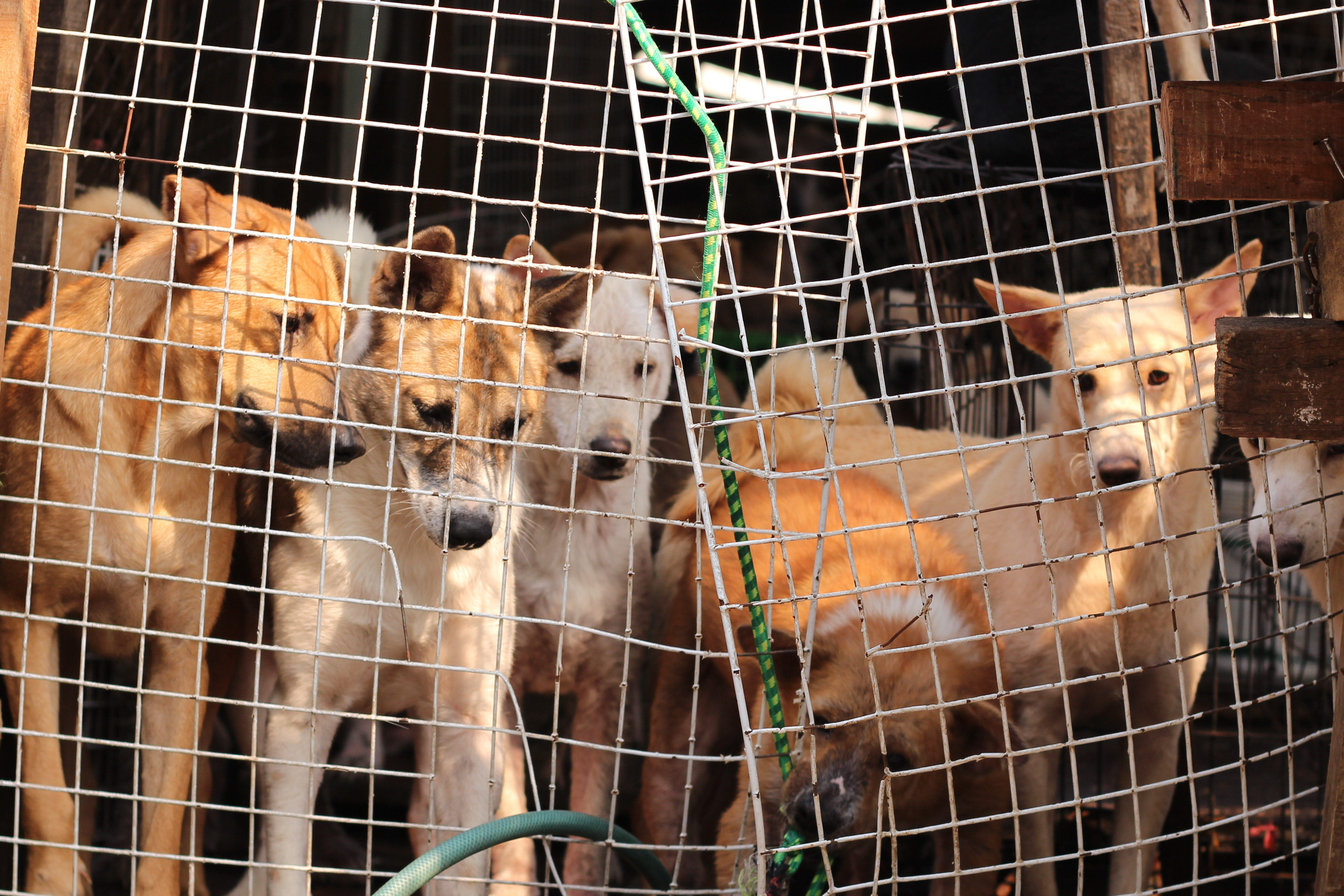 Dogs in cage to be sold for meat