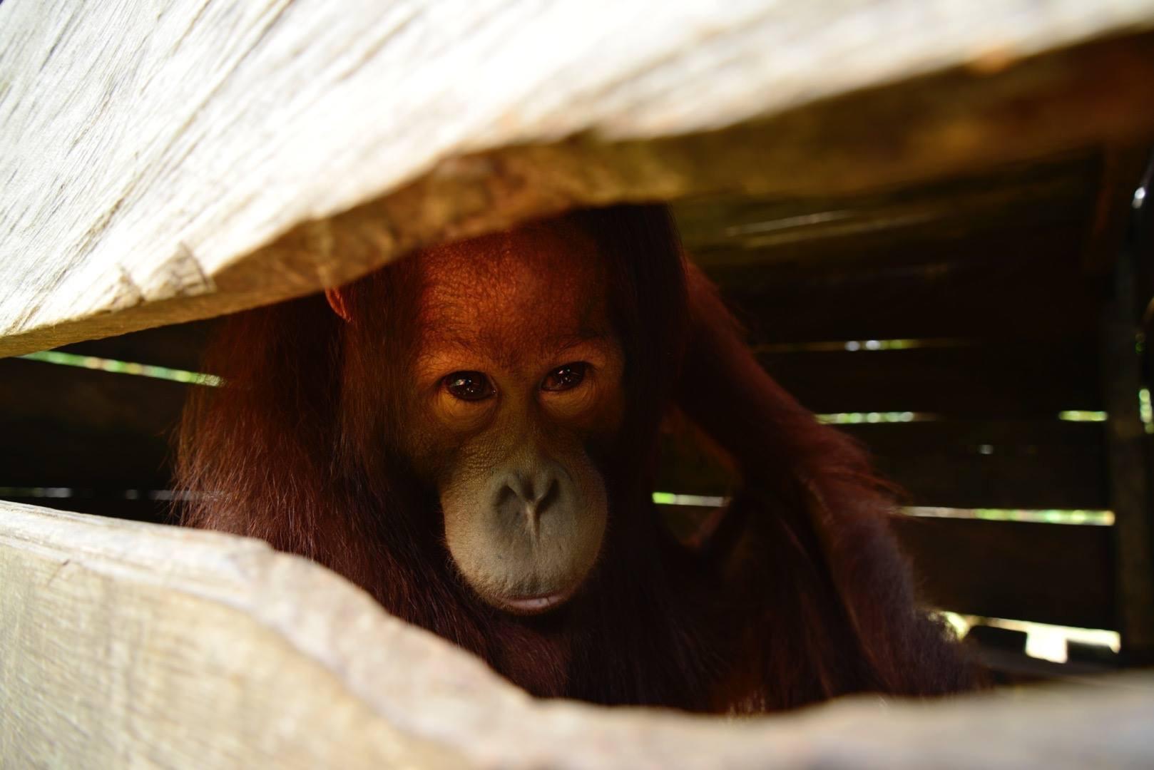 Orangutan named Berani