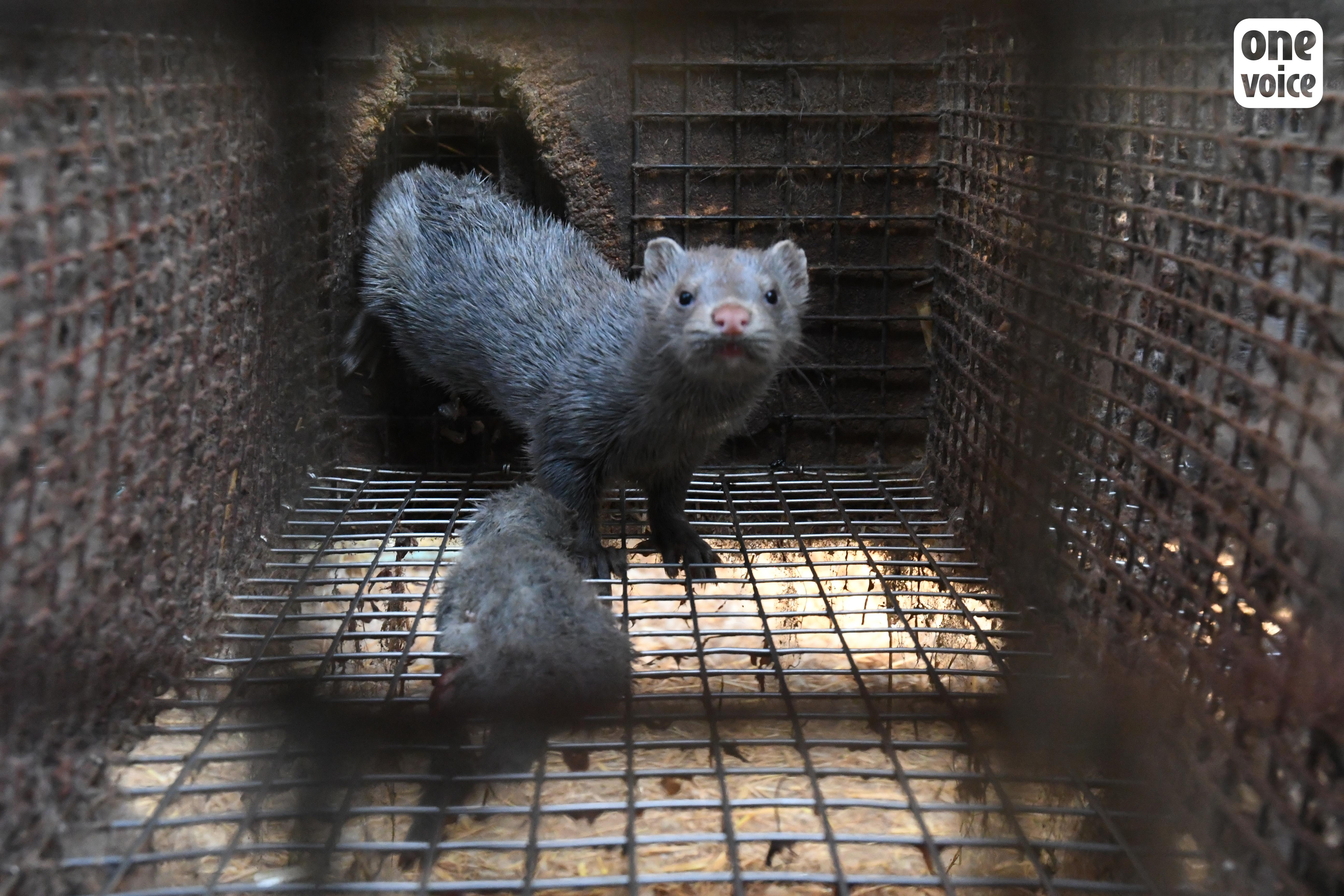 Mink on French fur farm