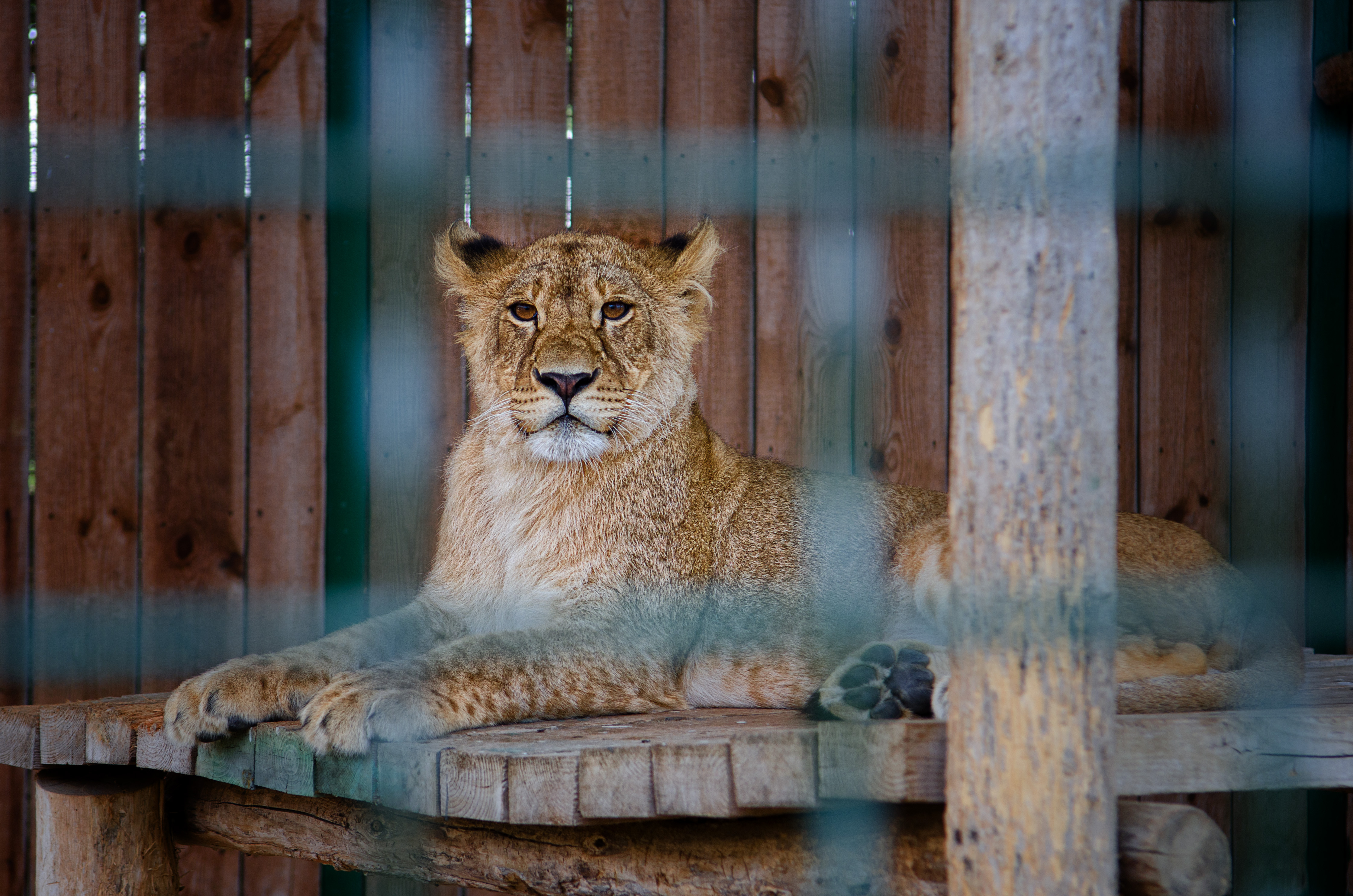 captive big cat