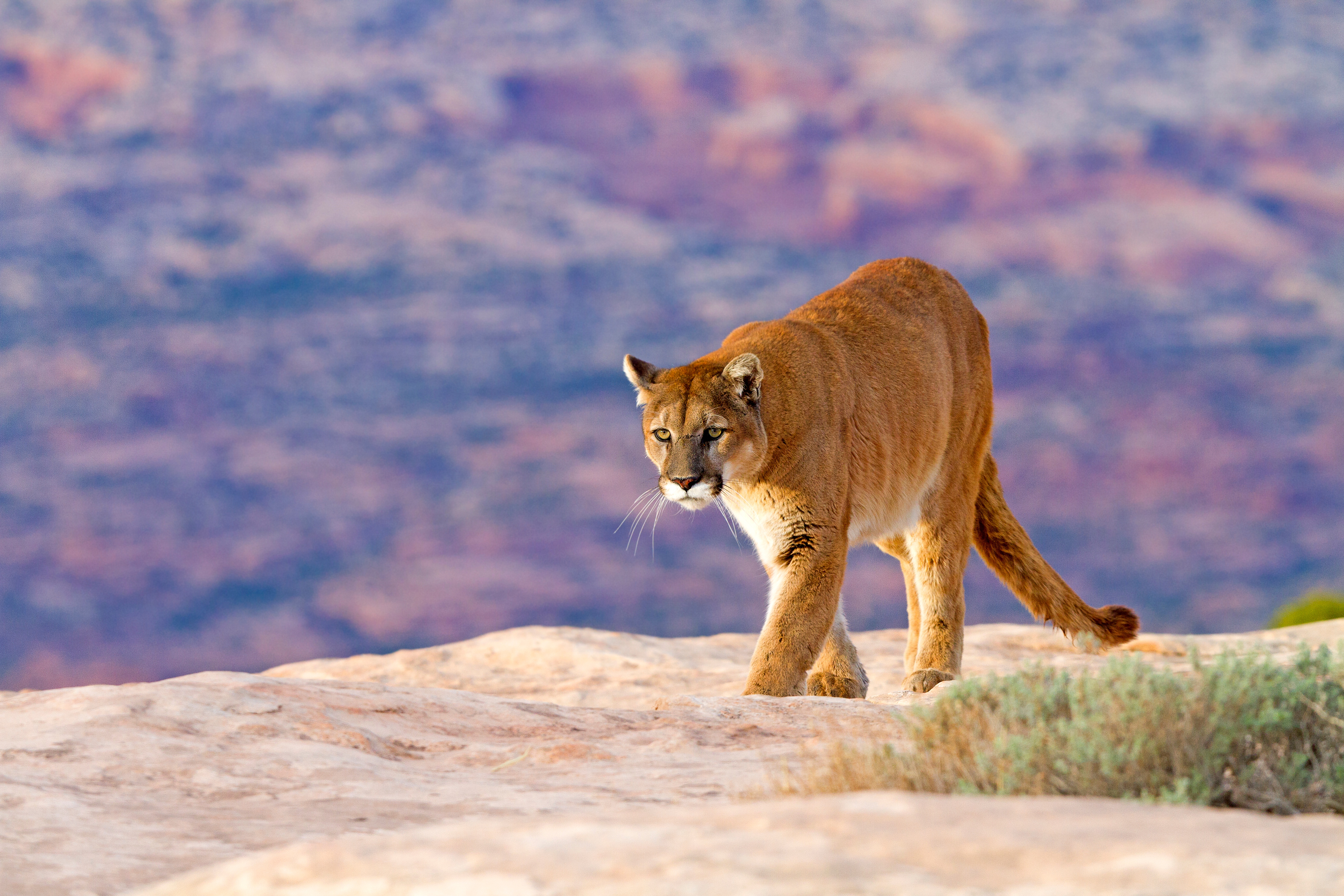 cougar, also known as mountain lion