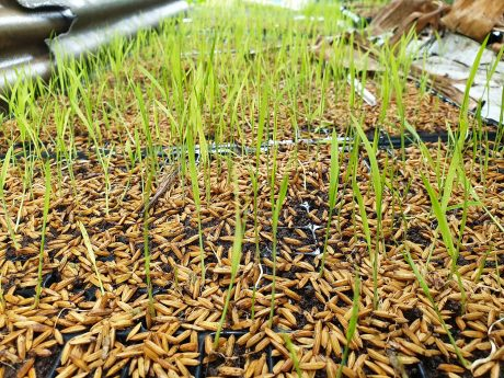 sprouting rice