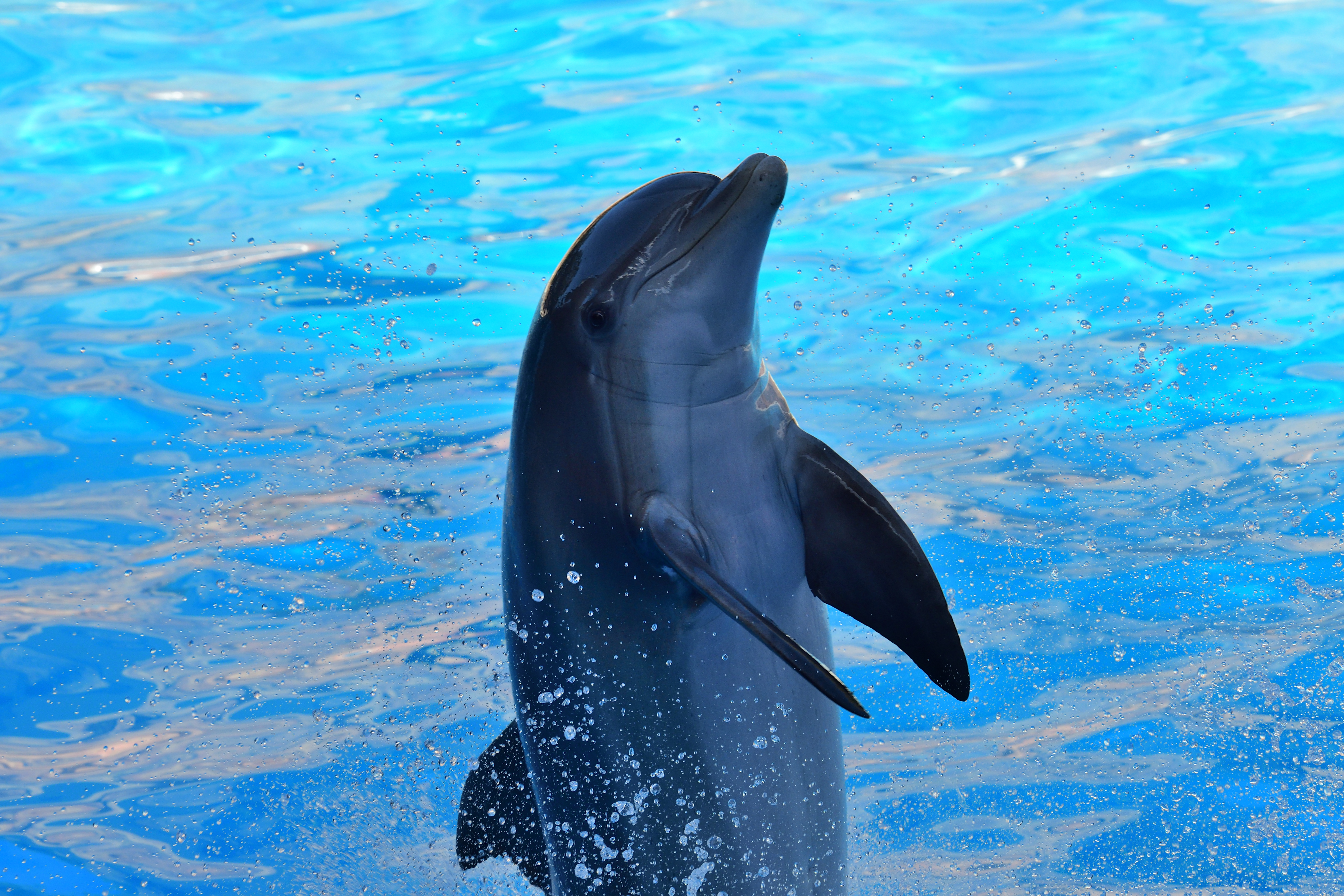Captive dolphin performing