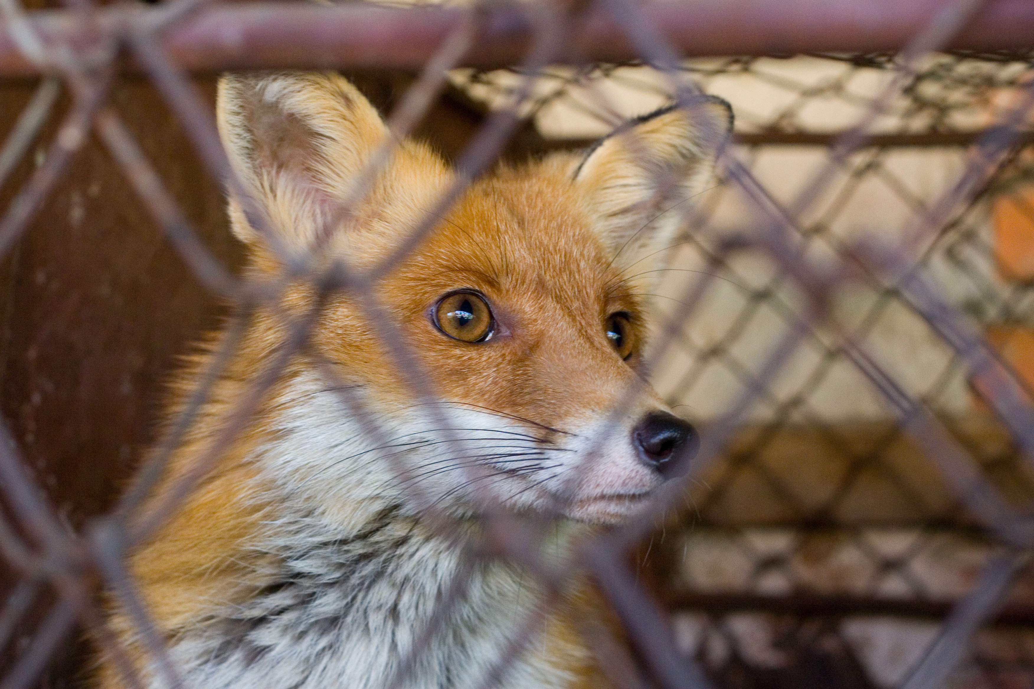 fur fox in cage