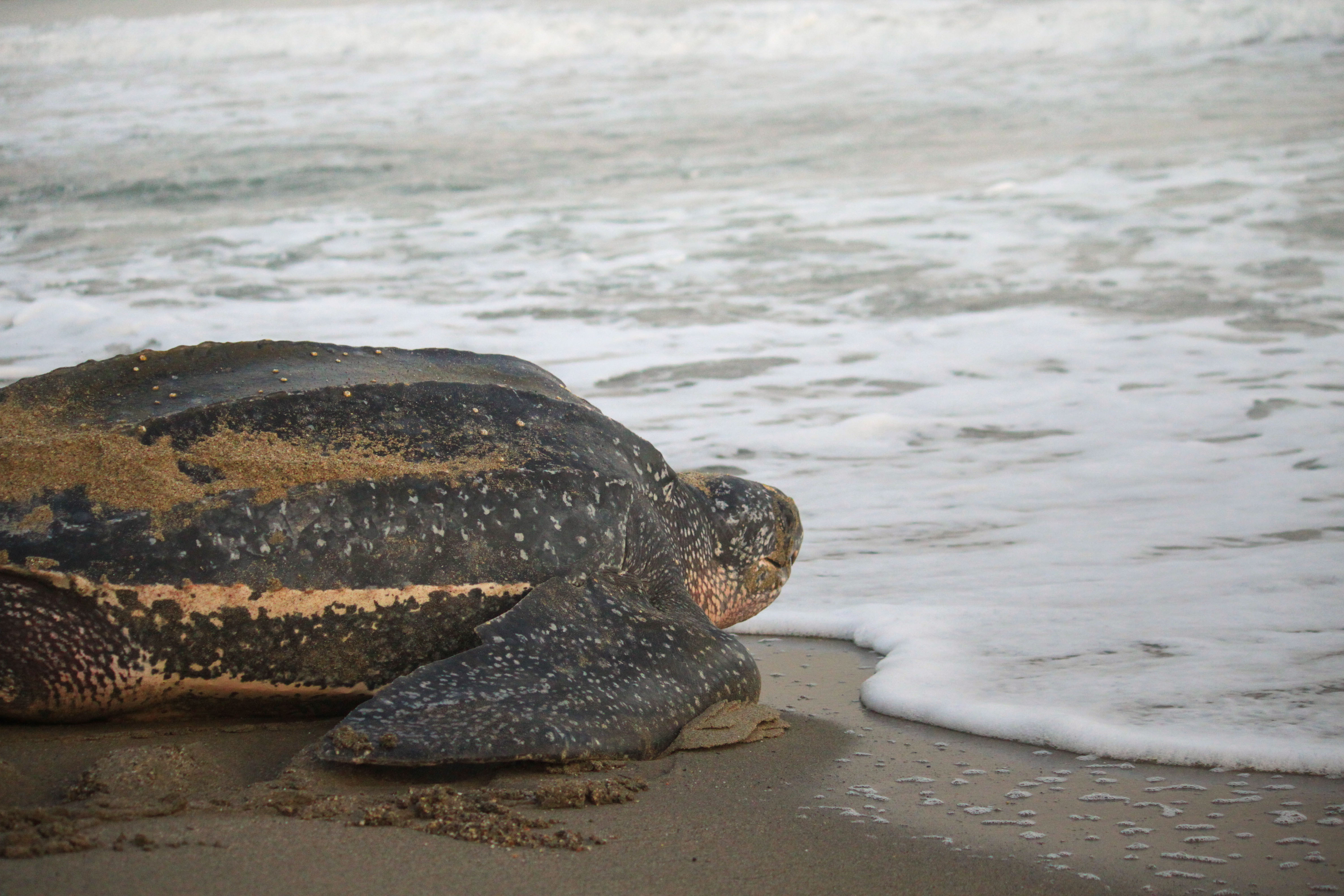 Sea turtle going back to sea after laying eggs
