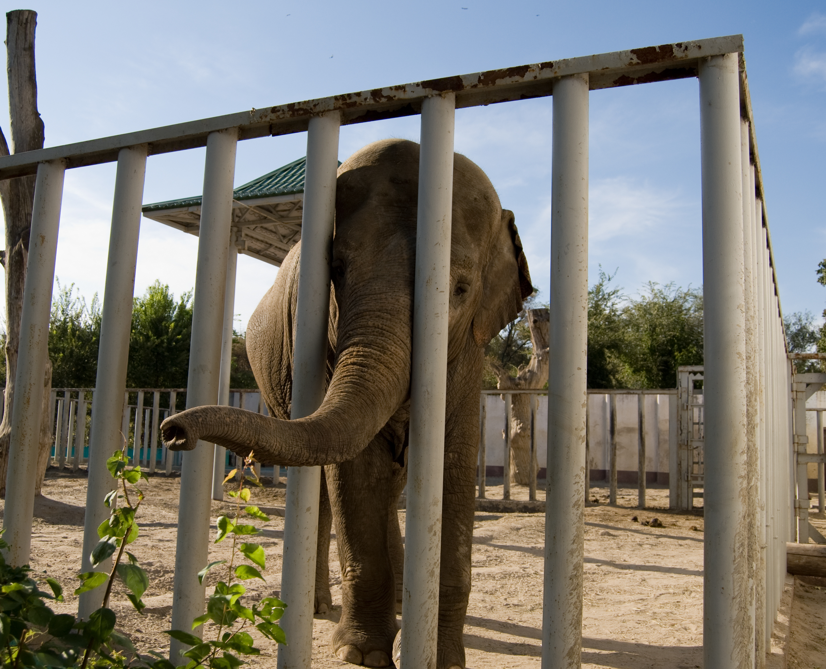 Sad elephant in cage at zoo