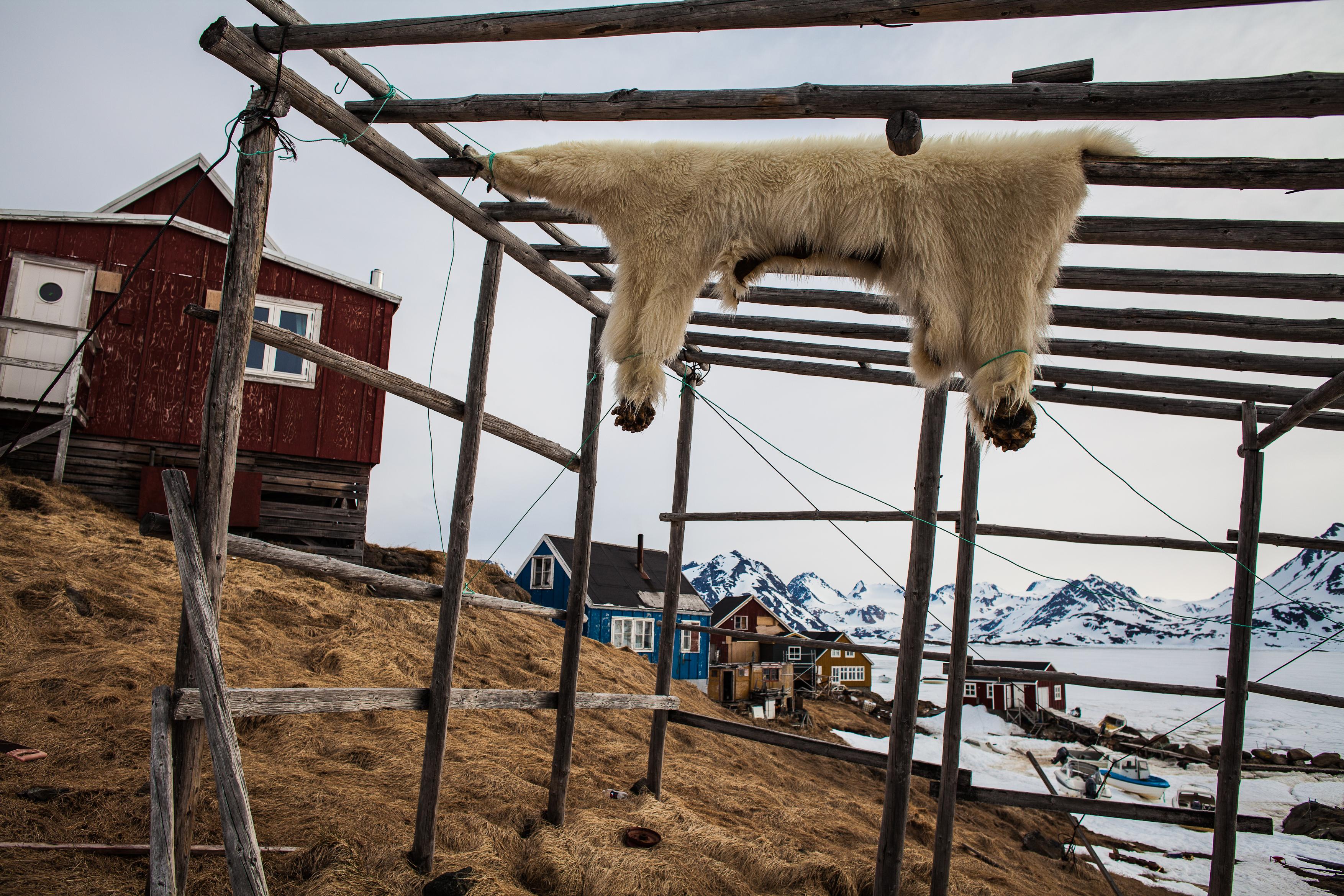 pelt of a dead polar bear