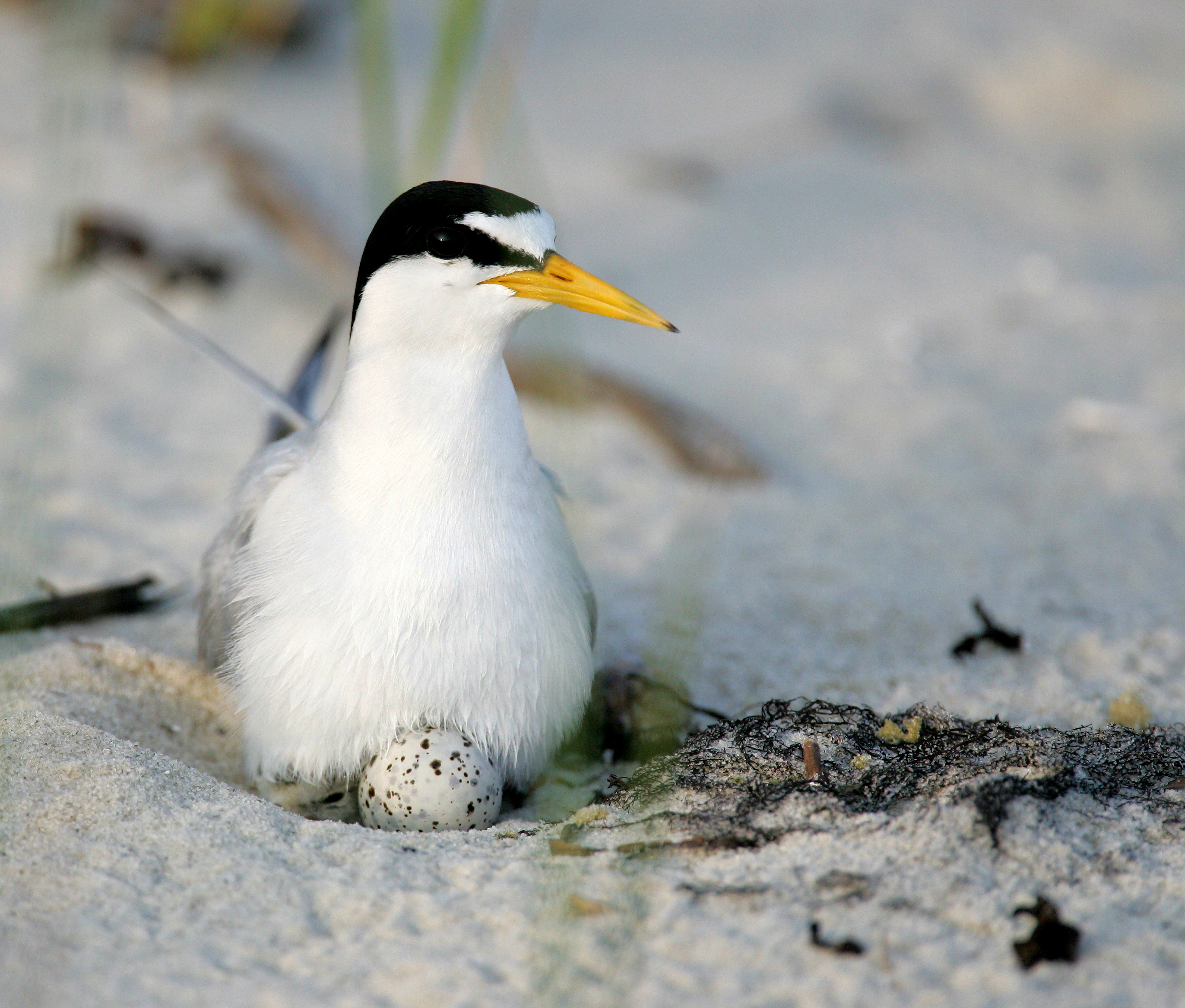 Least tern bird sitting on eggs