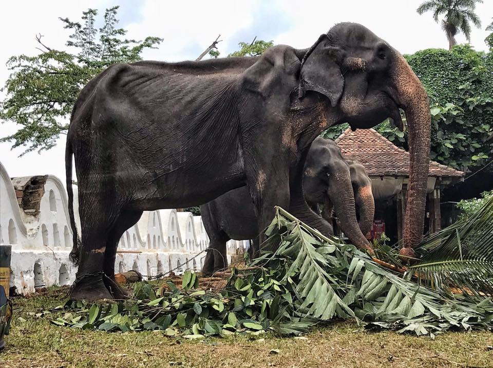 Tikiri, abused skeletal elephant in Sri Lanka
