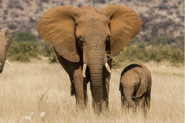 Wild African elephant mother and baby