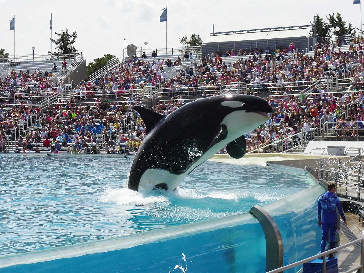 Orca Whale in Captivity