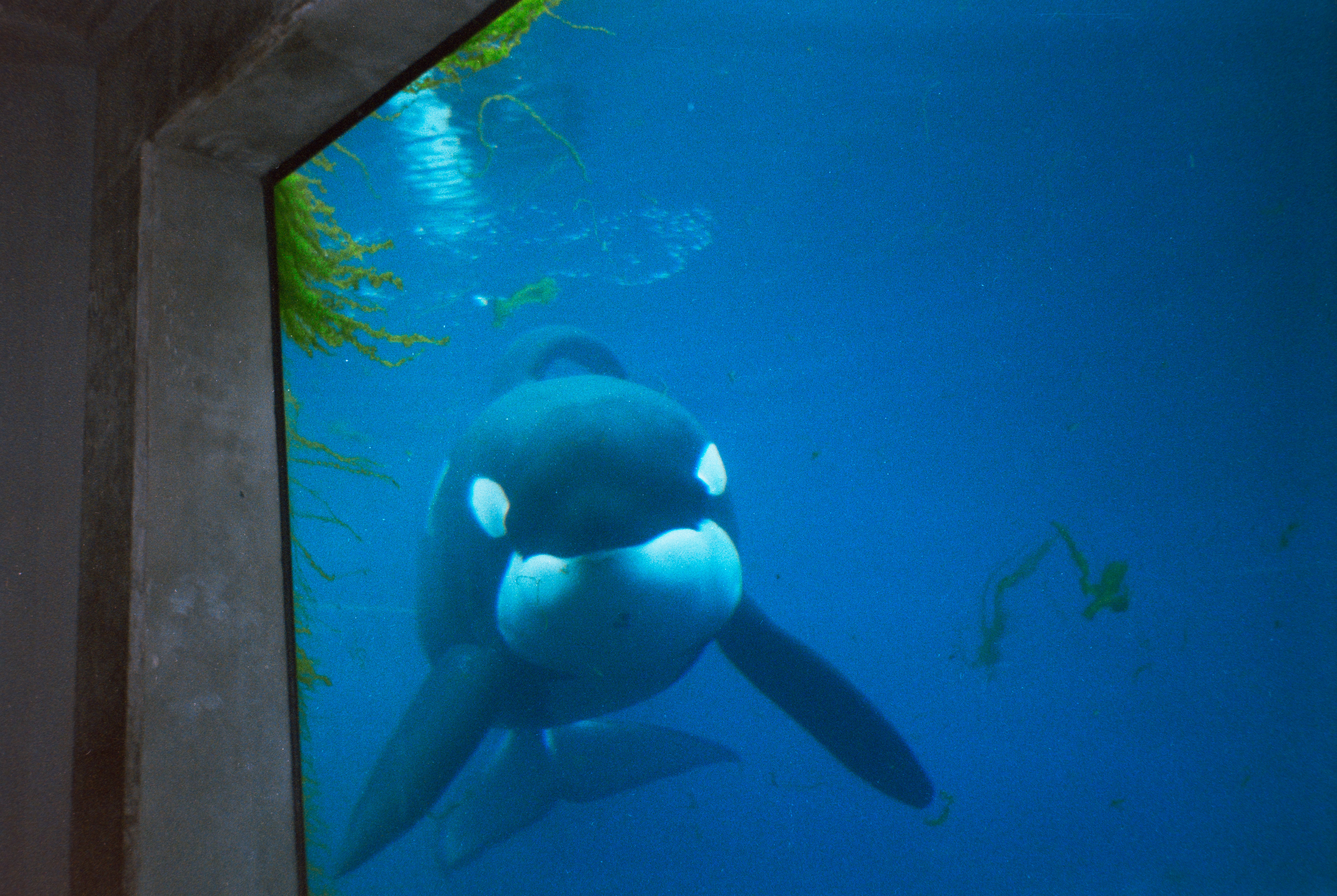 Keiko the famous orca