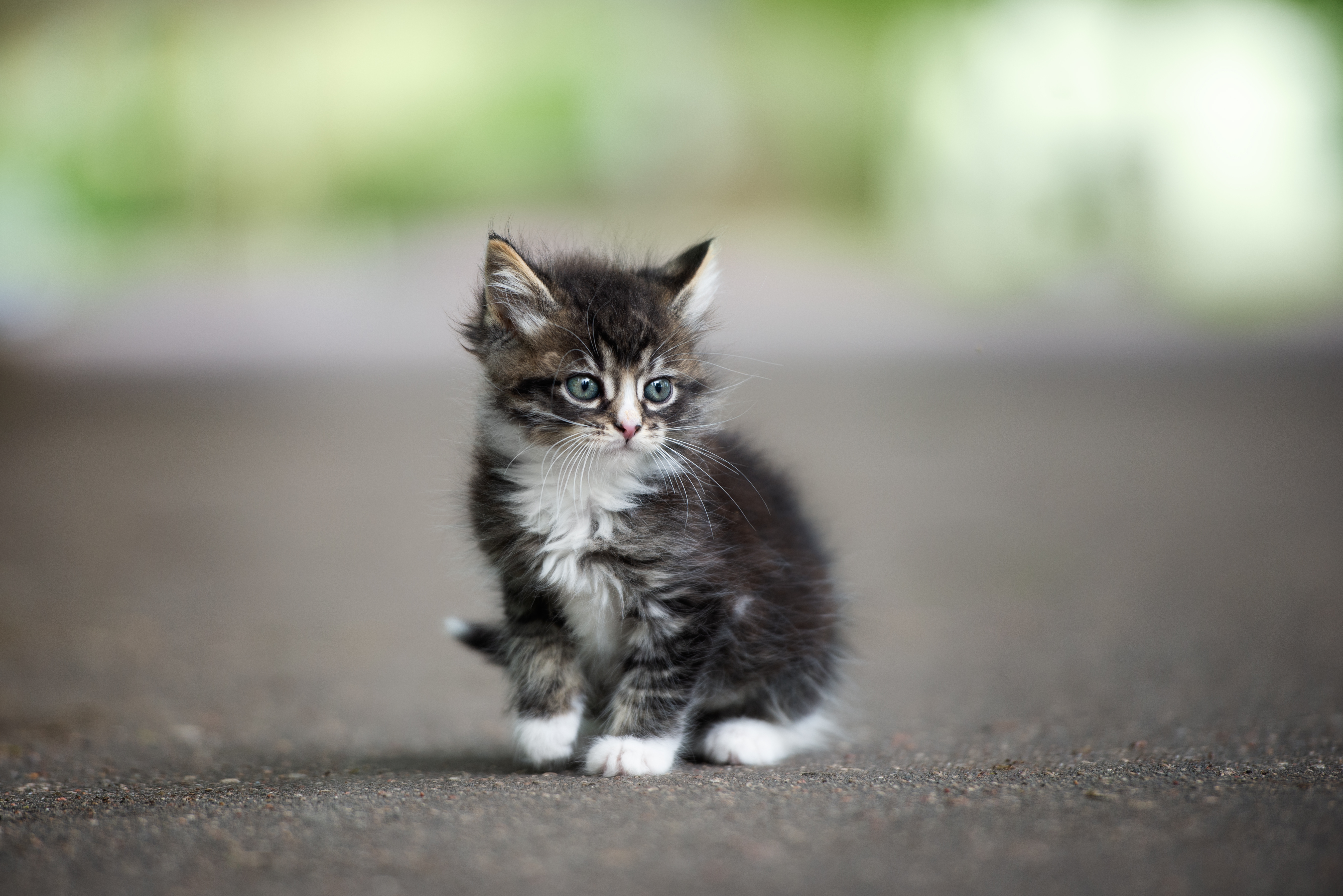 gray kitten on road