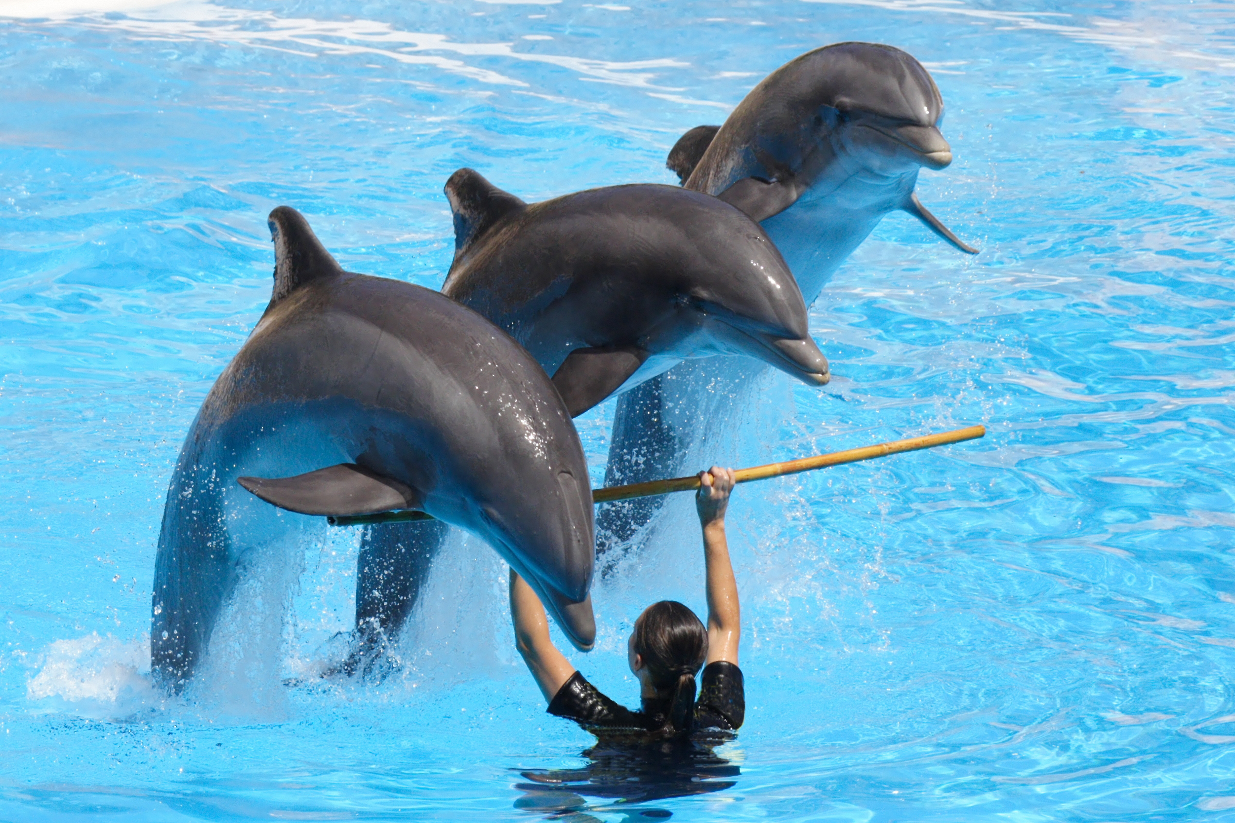 captive dolphins with trainer