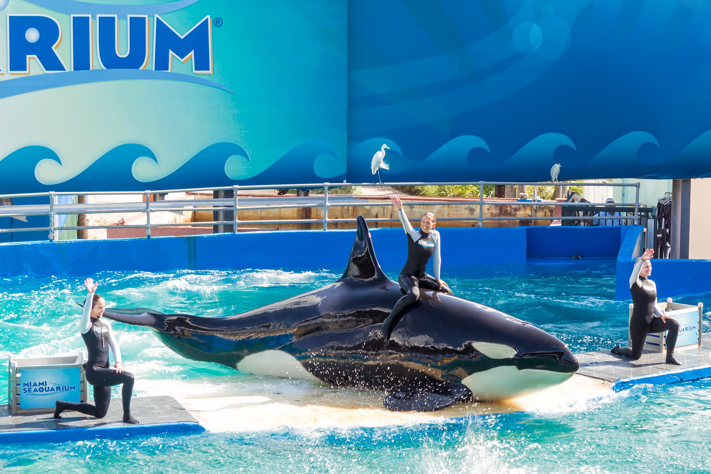 Lolita the captive orca