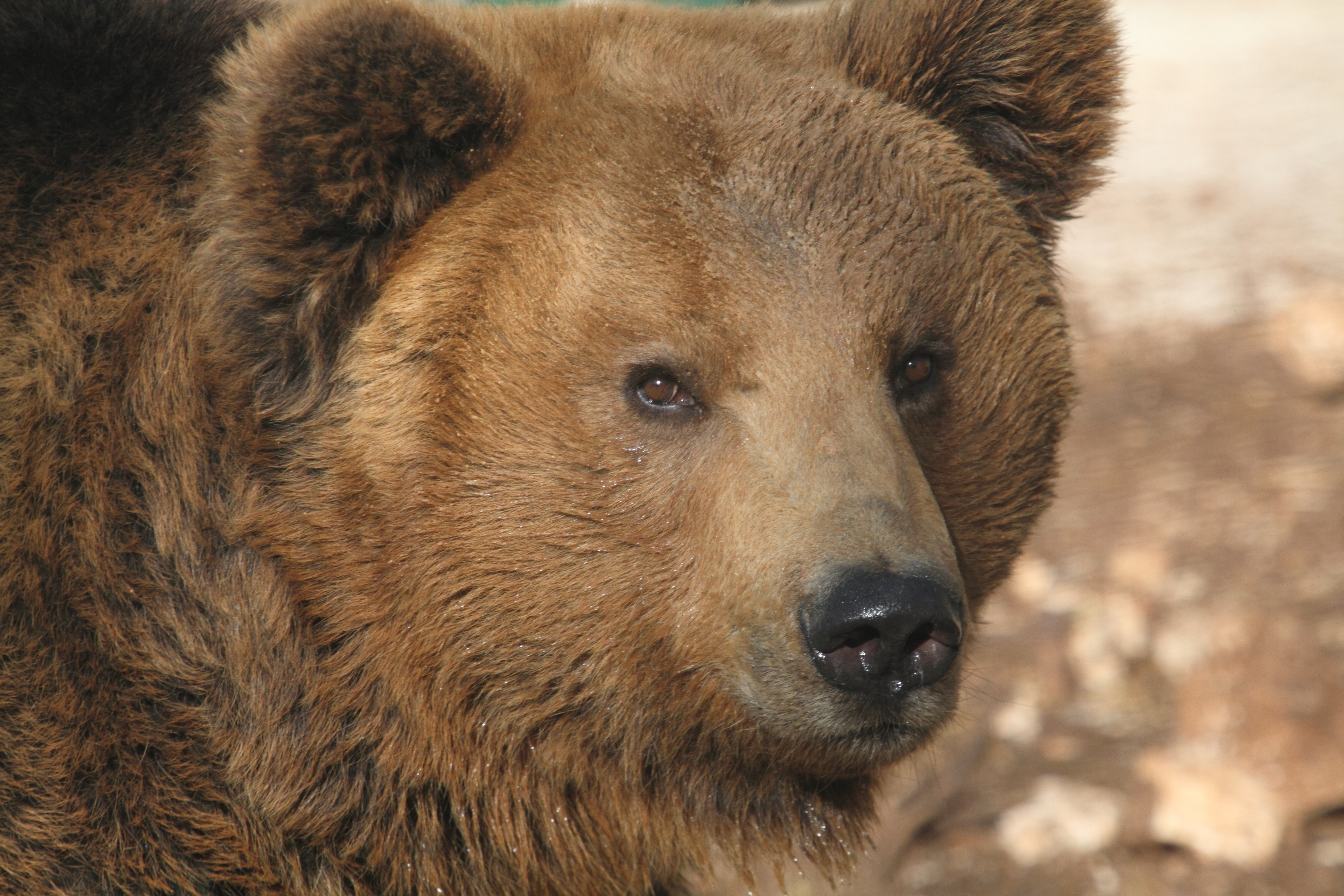 Alpine Brown Bear in Italy's Abruzzo National Park