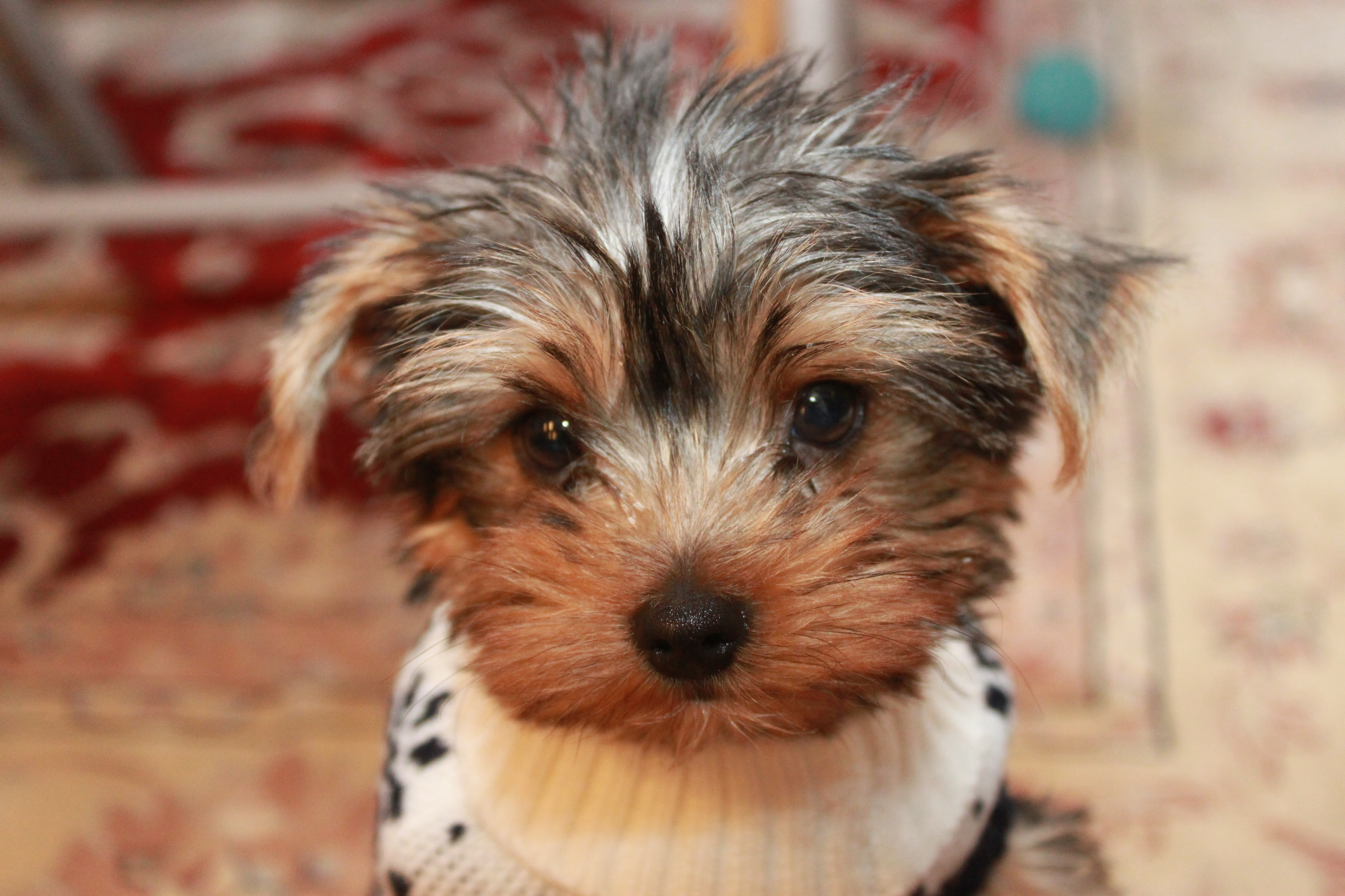 Yorkie in a sweater