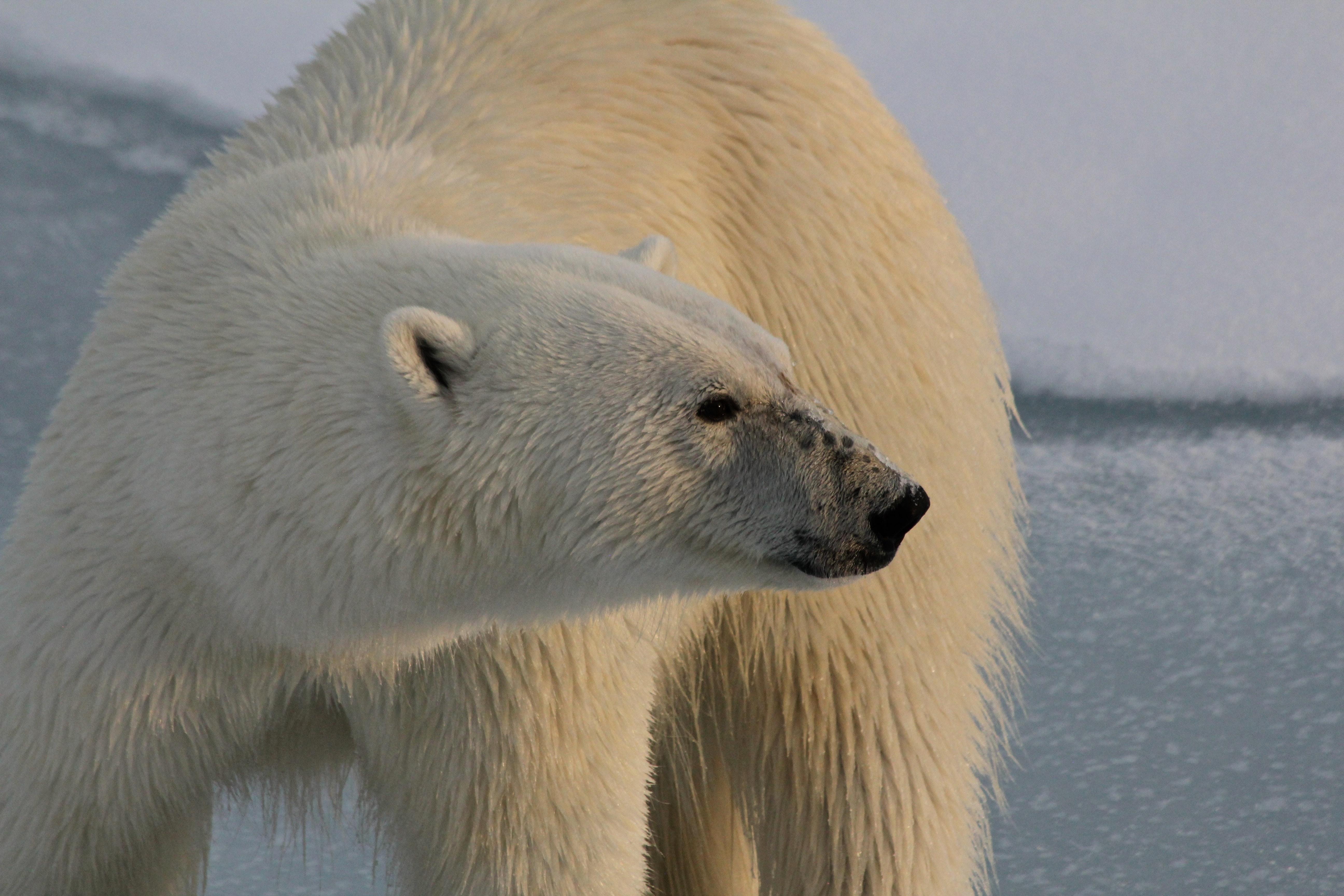 Polar Bear Full Body