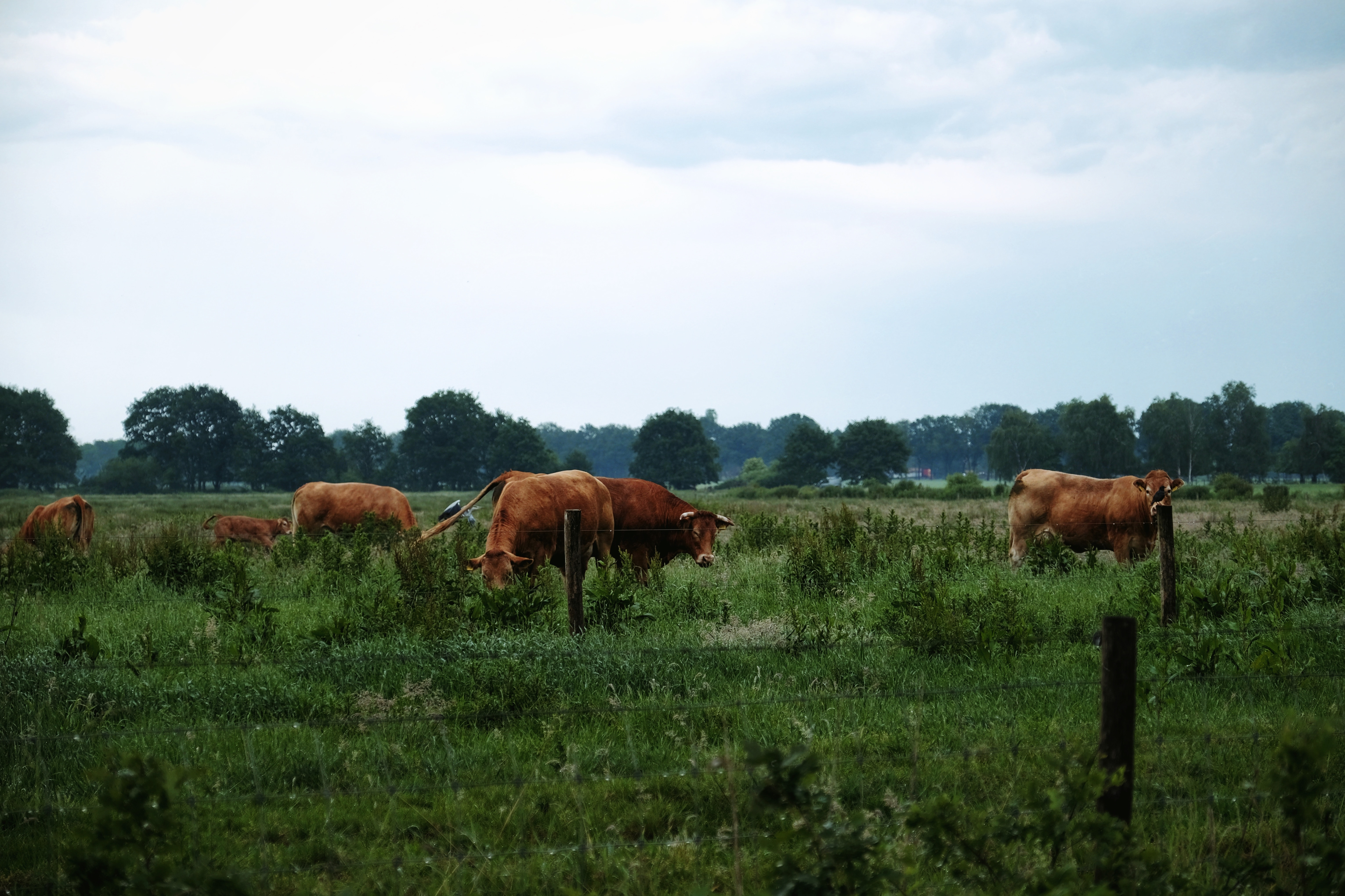 Cows grazing on farm land
