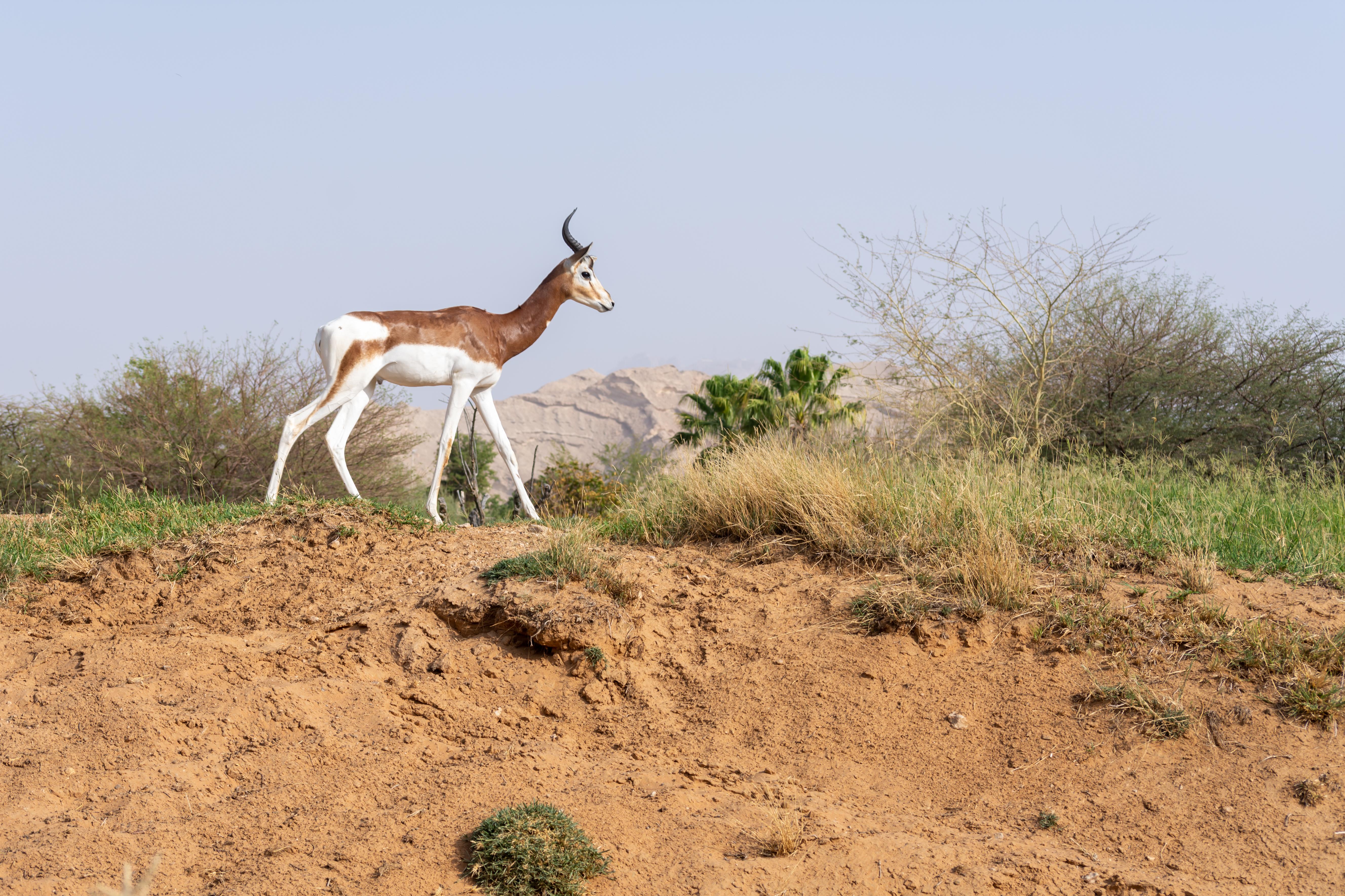 dama gazelle in Niger