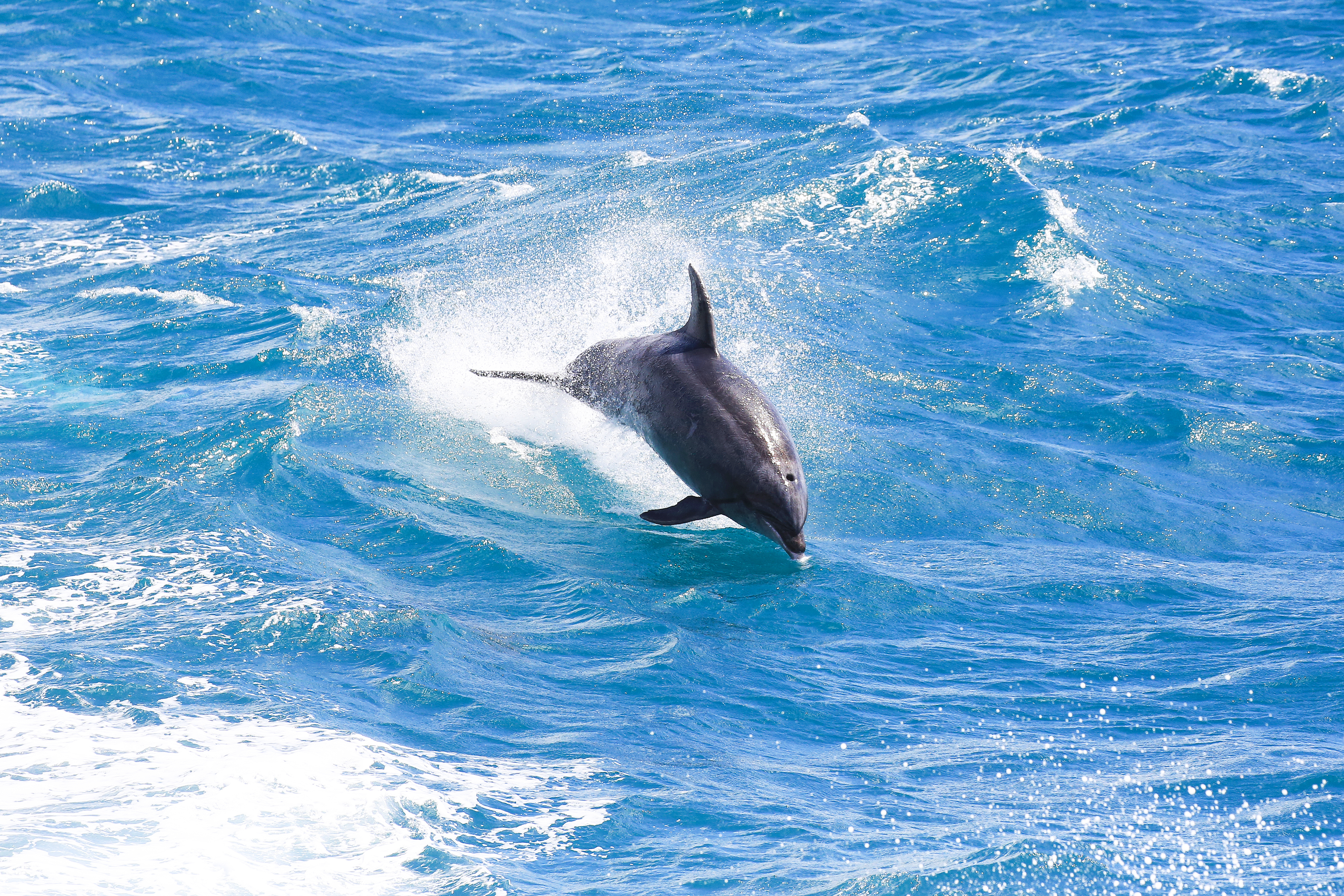 Bottlenose dolphin in Bay of Islands, New Zealand