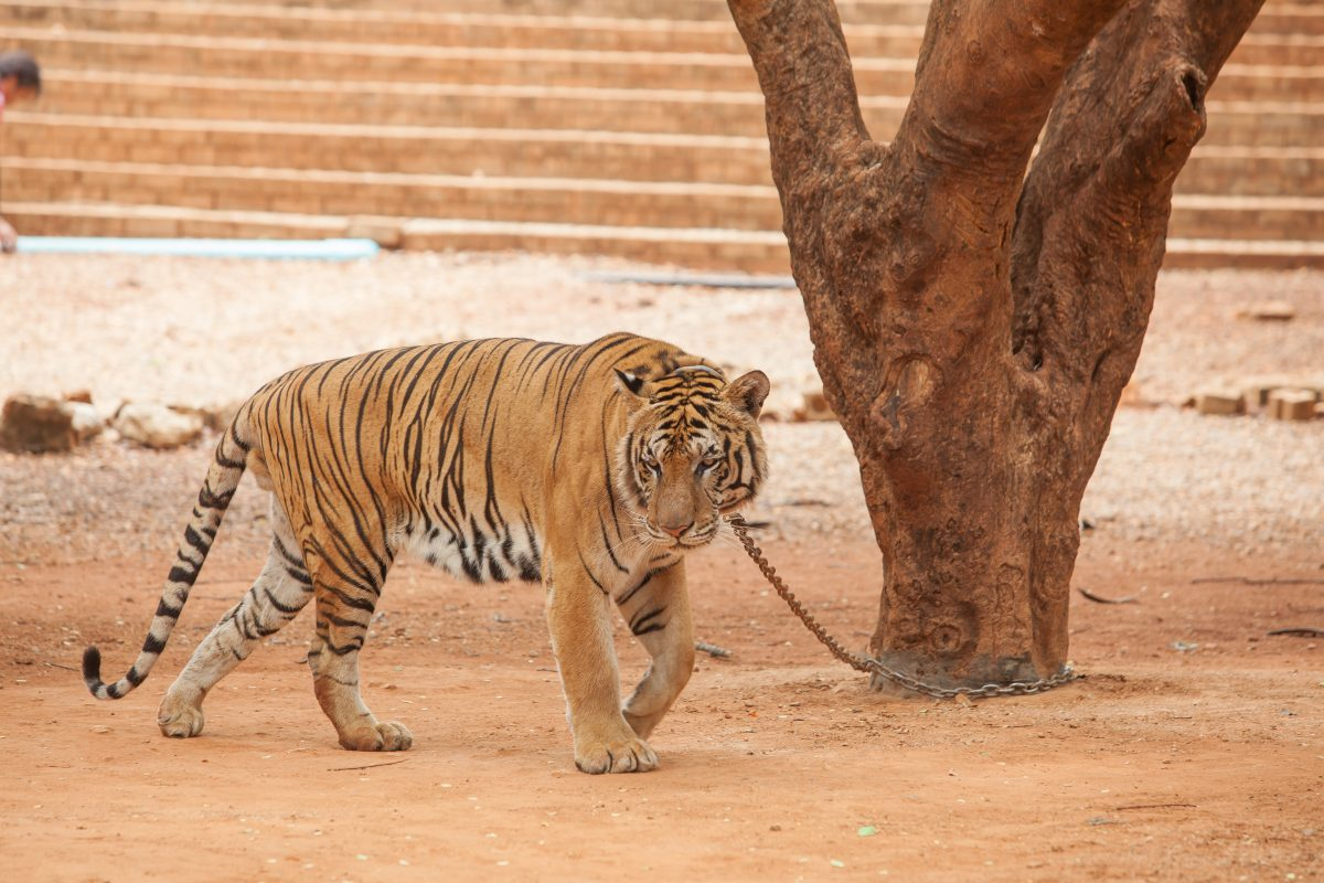 tiger on chain at tiger temple