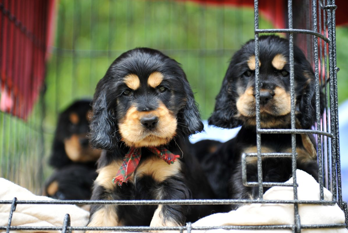 puppies in cage at a pet store