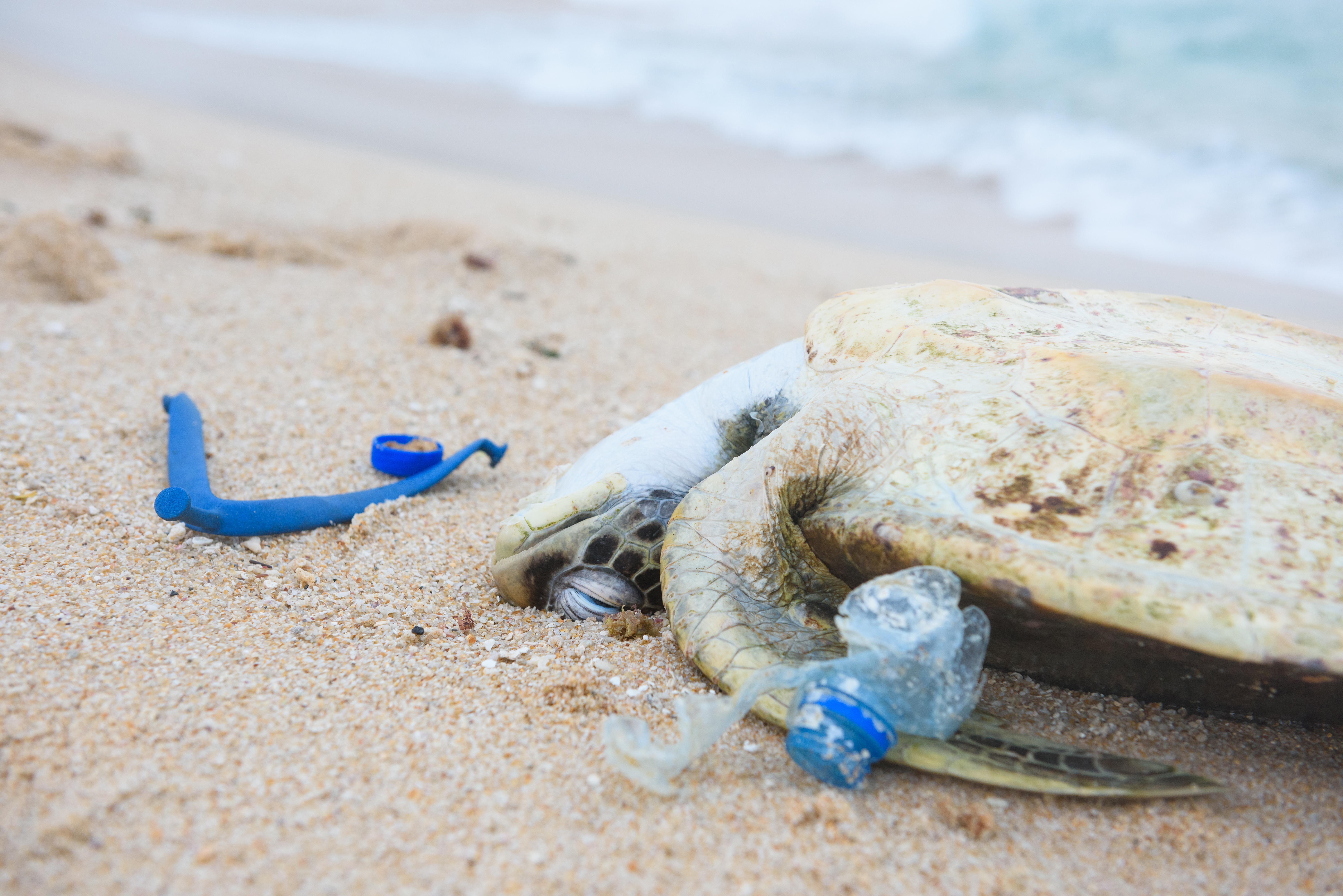 dead turtle on shore with plastic in his mouth