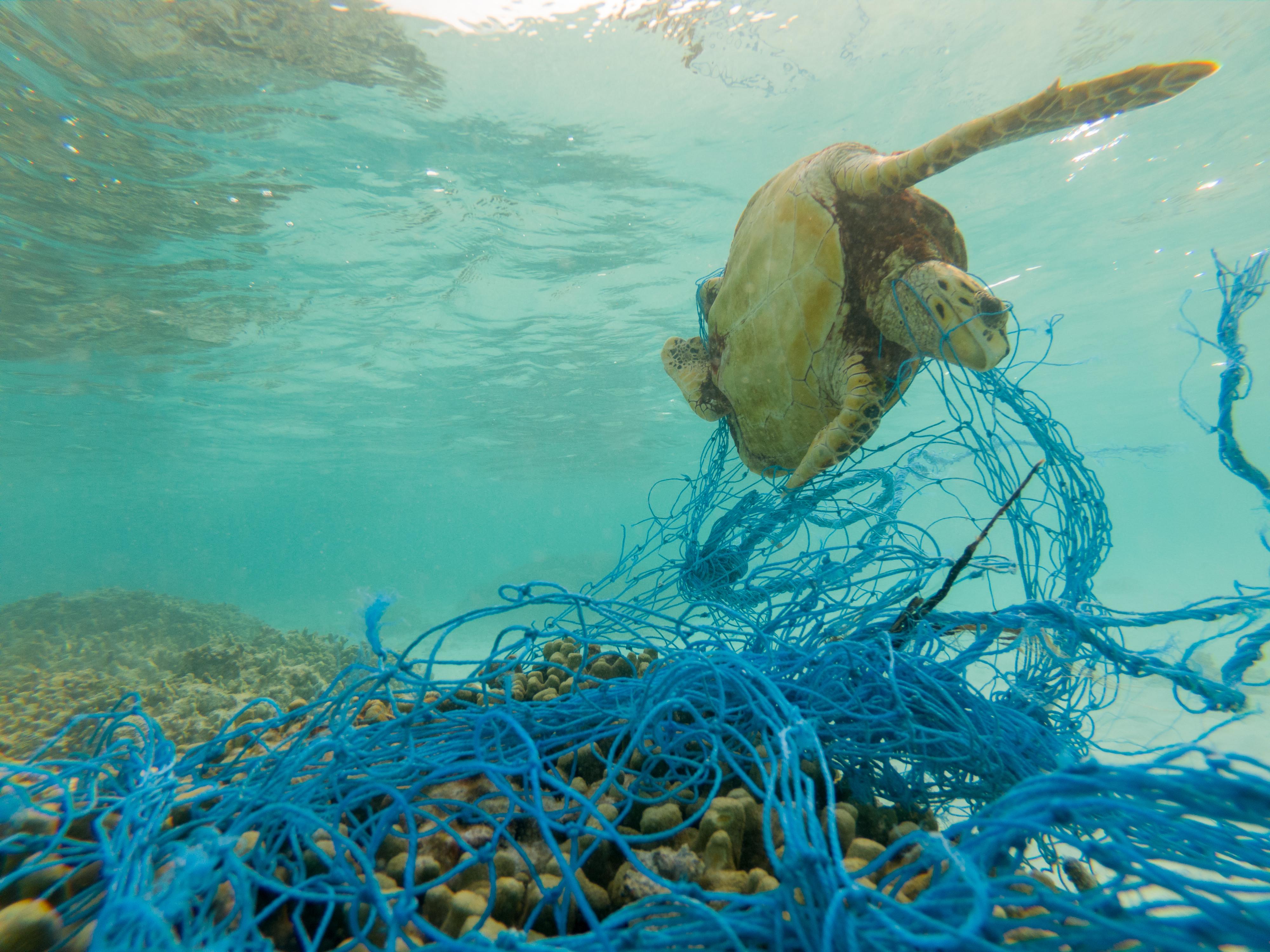 sea turtle entangled in fishing gear