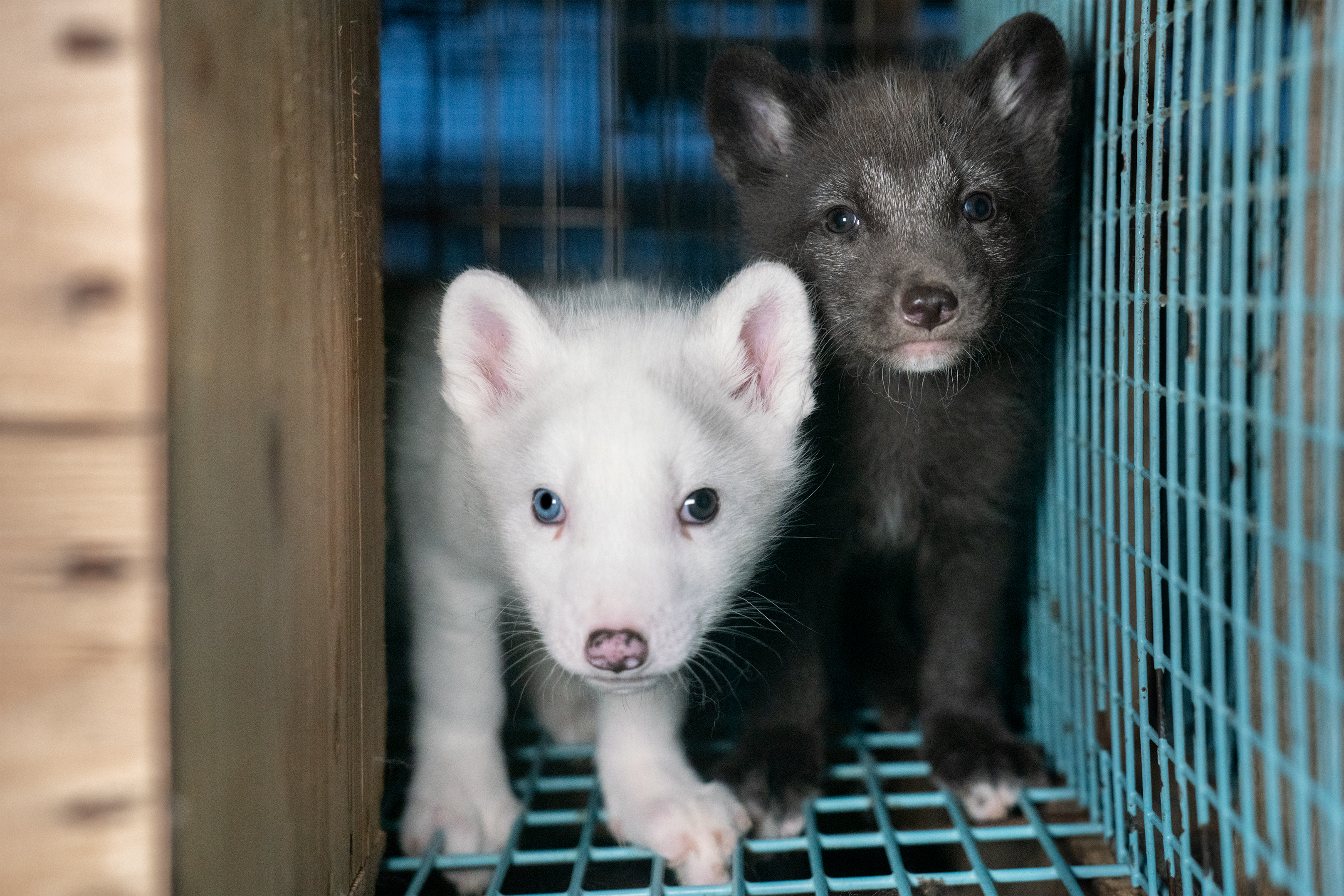 Baby foxes on Finland fur farm