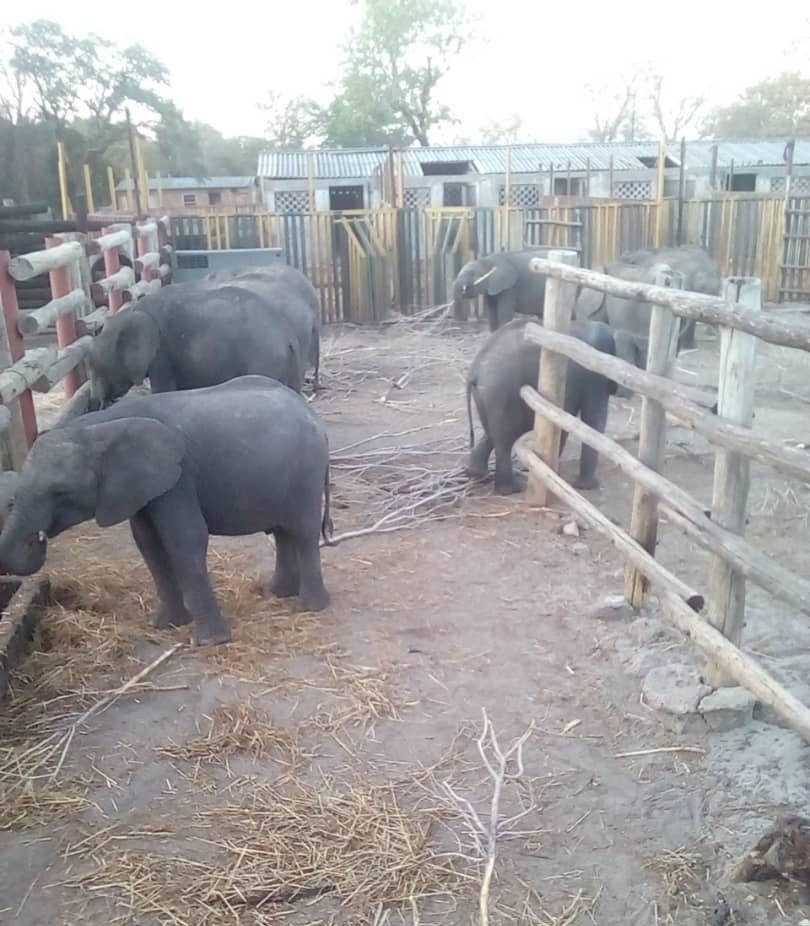 The elephants being held captive at the National Park in Zimbabwe