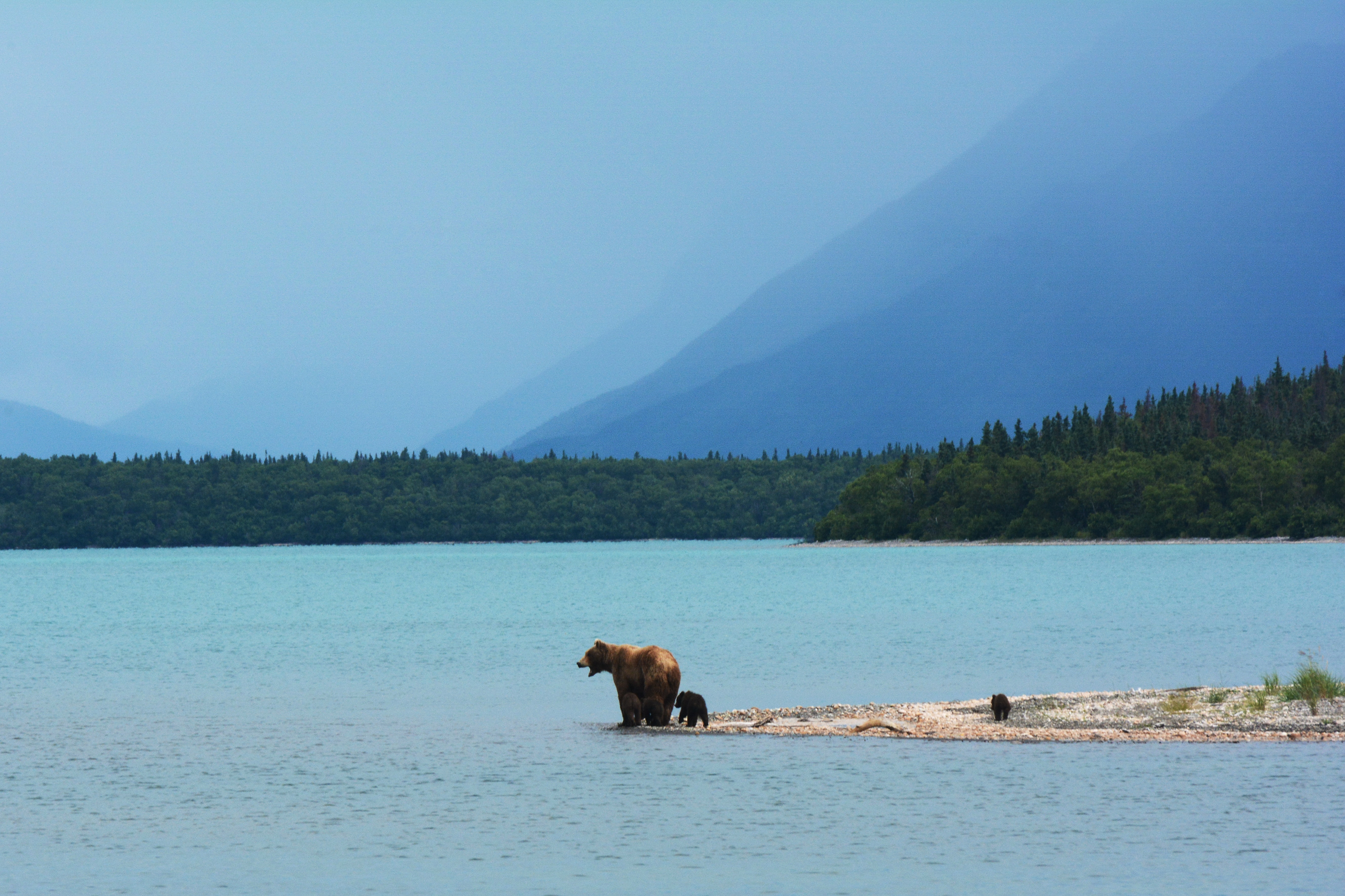 Grizzly Bears on Inlet