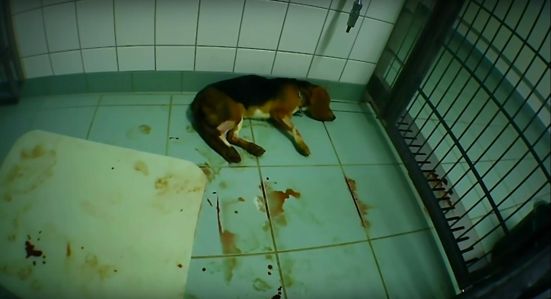 dog lying in blood