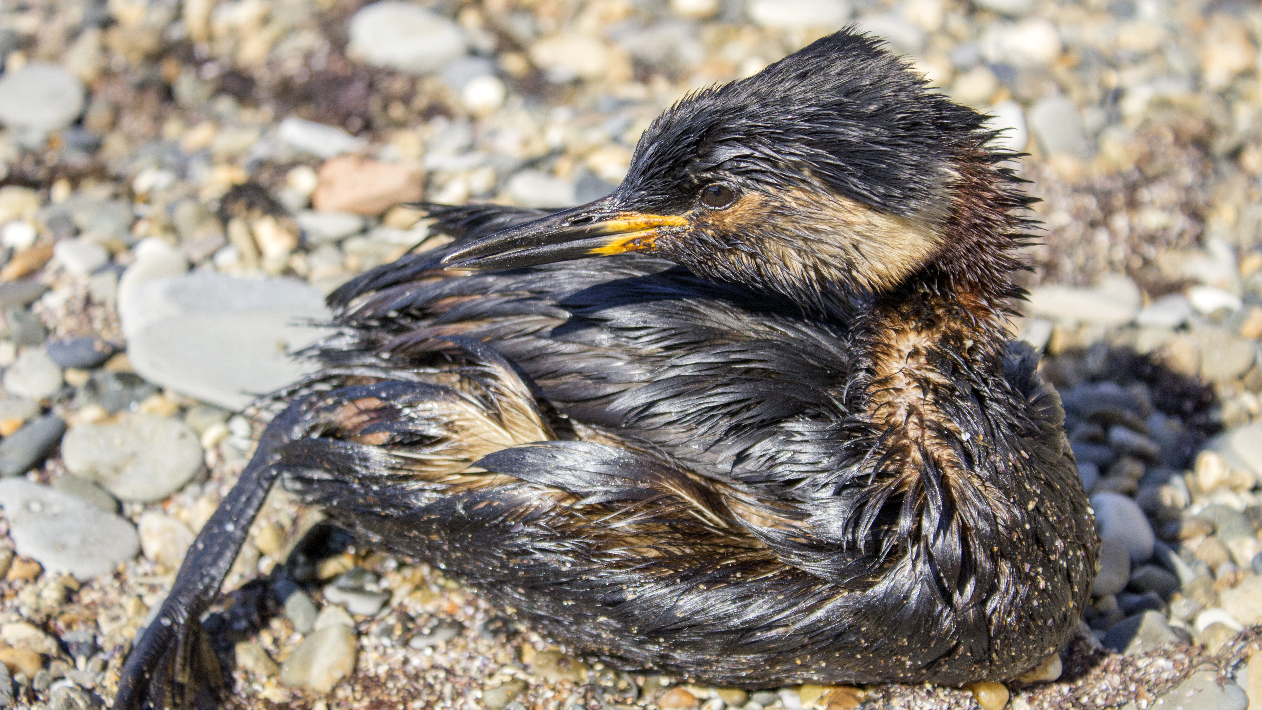 bird on shore covered in oil