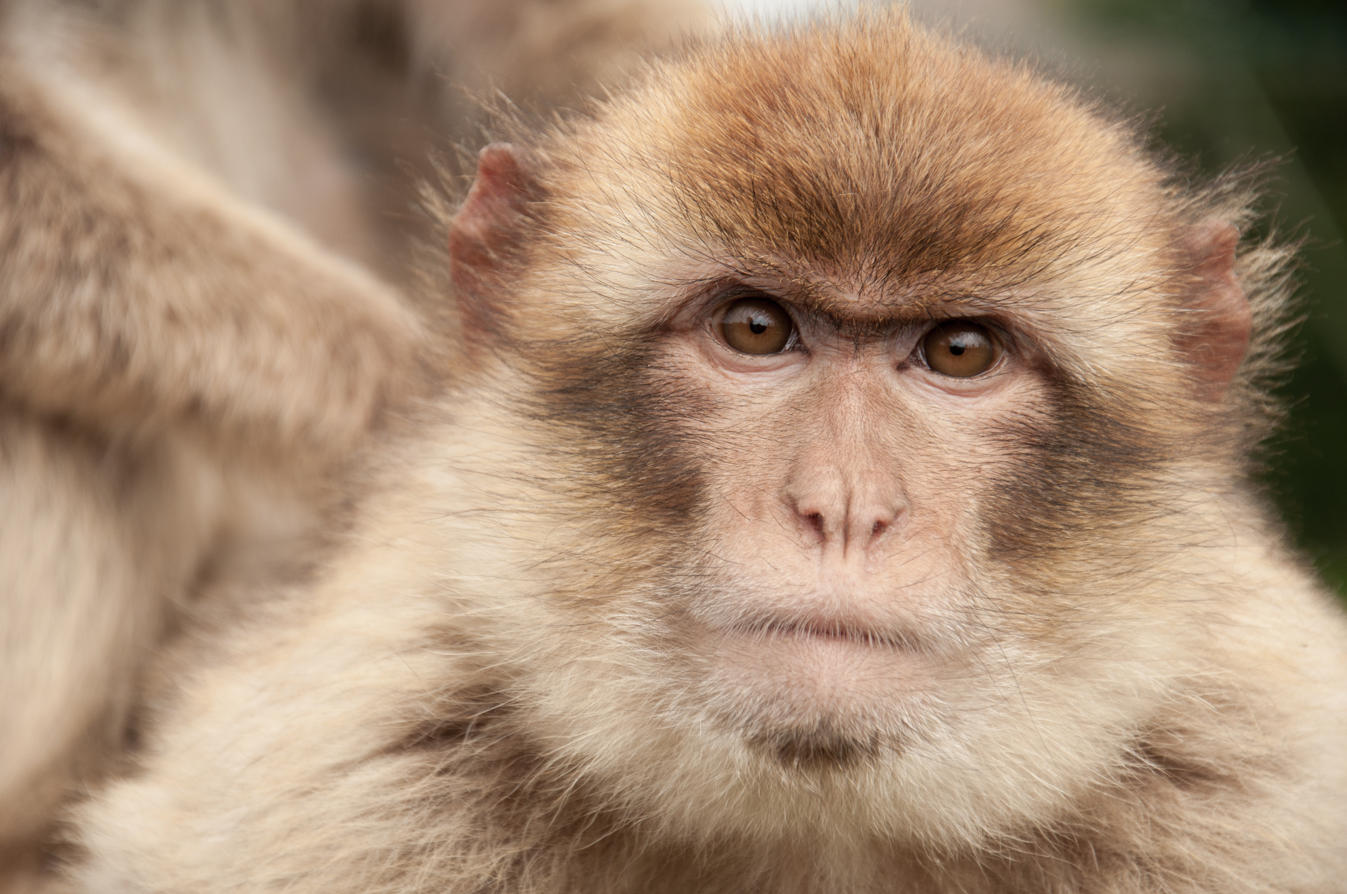 Endangered Barbary macaque