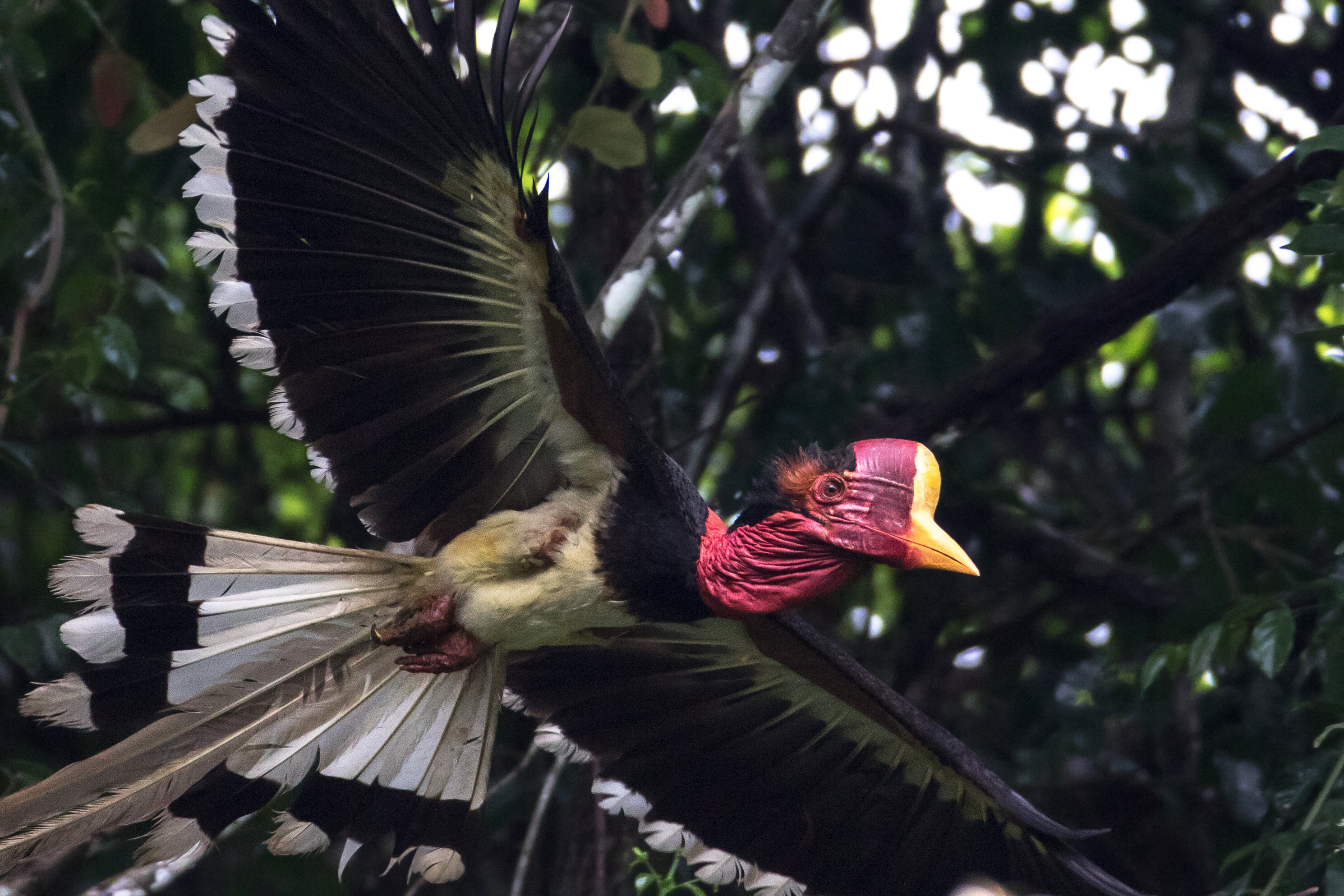 Palm Oil and Poaching Put the Helmeted Hornbill at Risk of Extinction