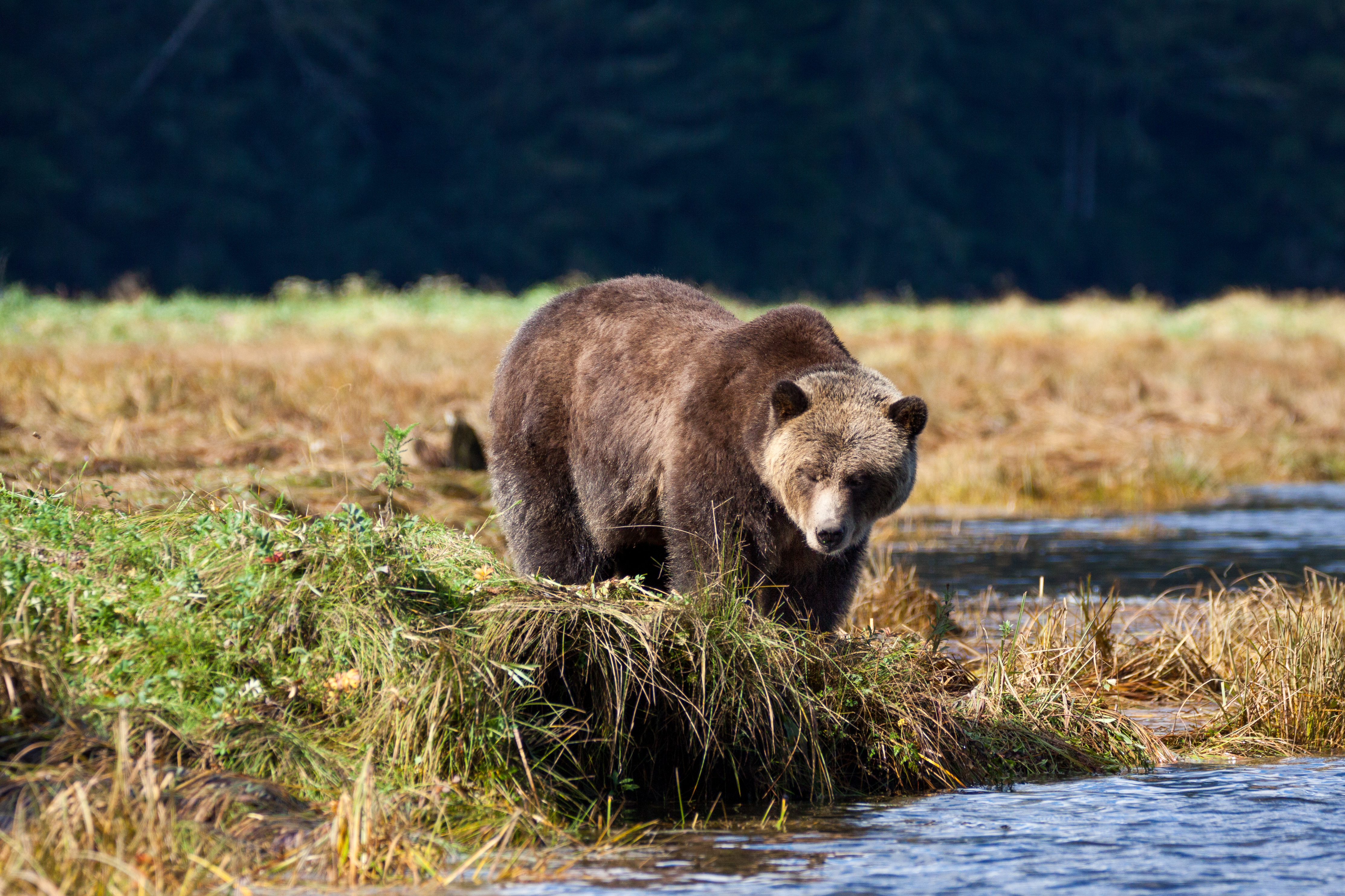 grizzly bear on Knight Inlet