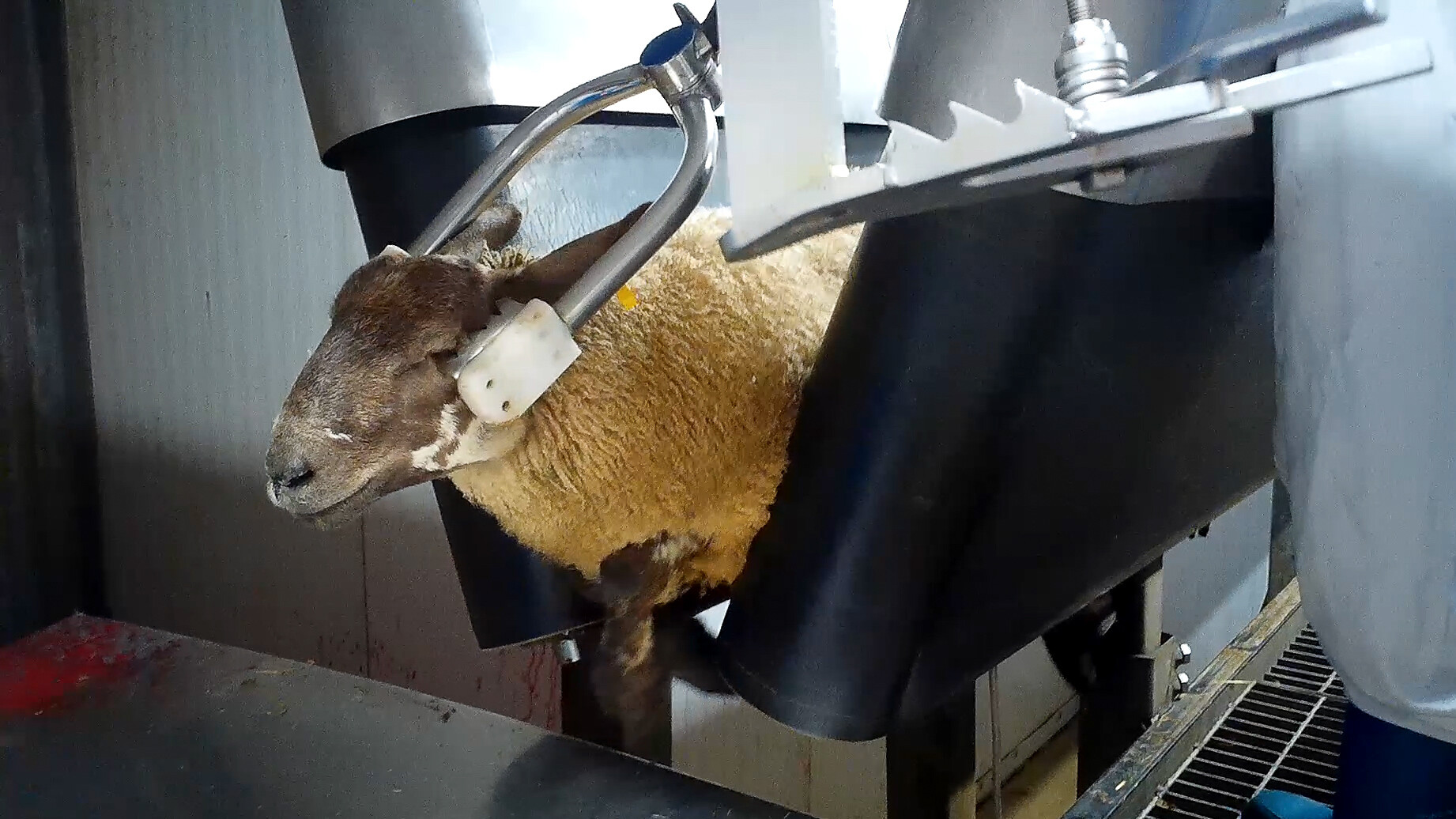 Sheep being stunned to death in slaughterhouse