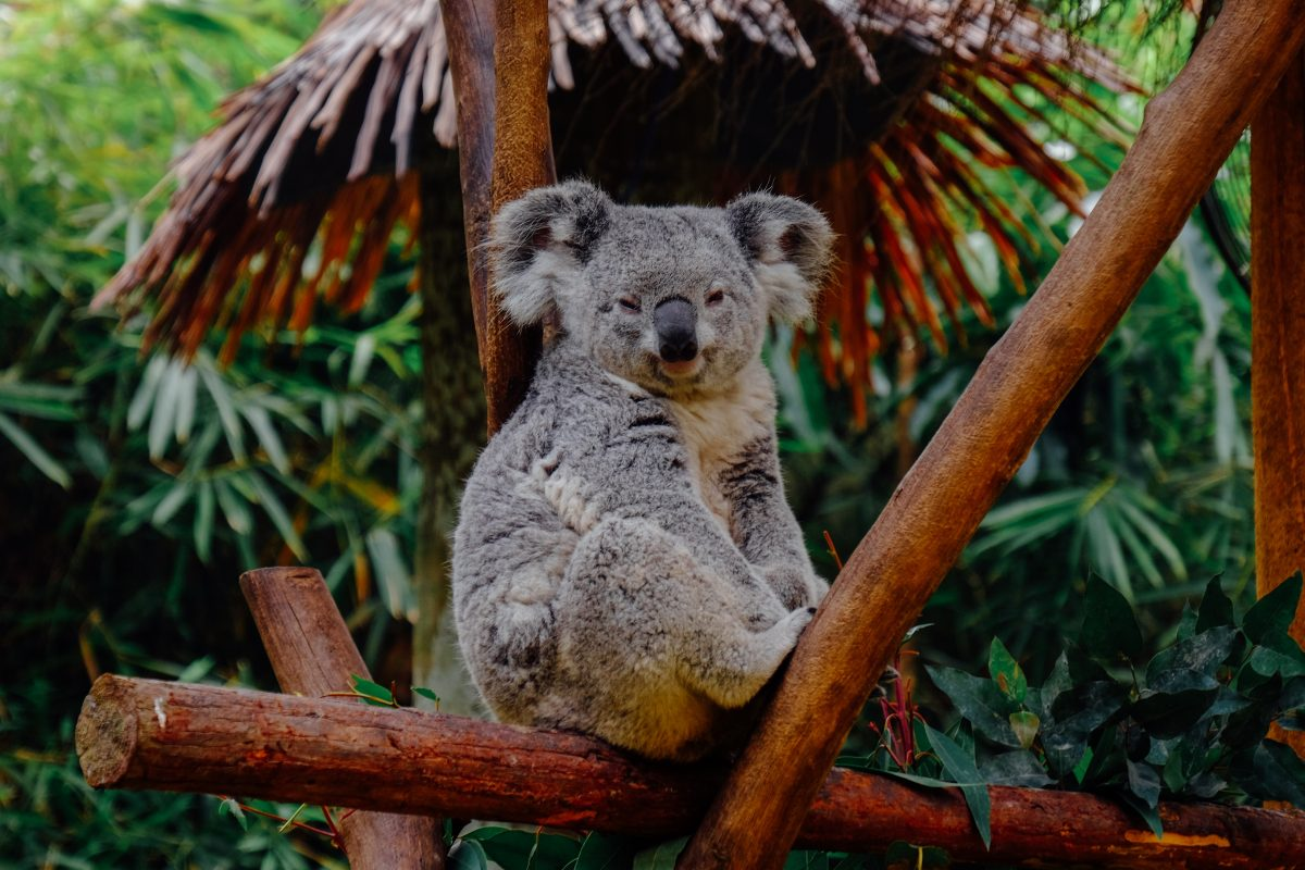 Koalas on the Verge of Extinction Due to Record Breaking Forest Fires and