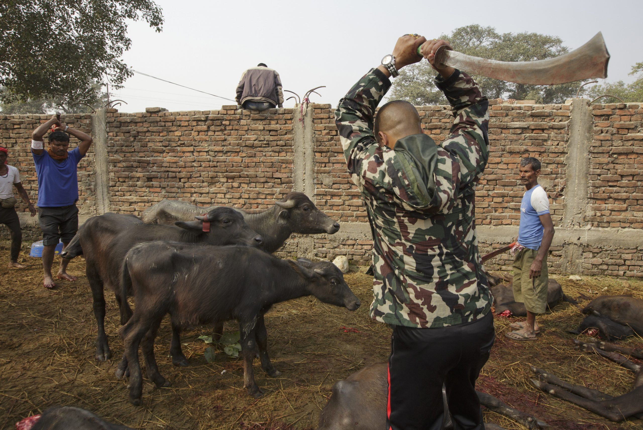 Animal about to be slaughtered at the Gadhimai Festival
