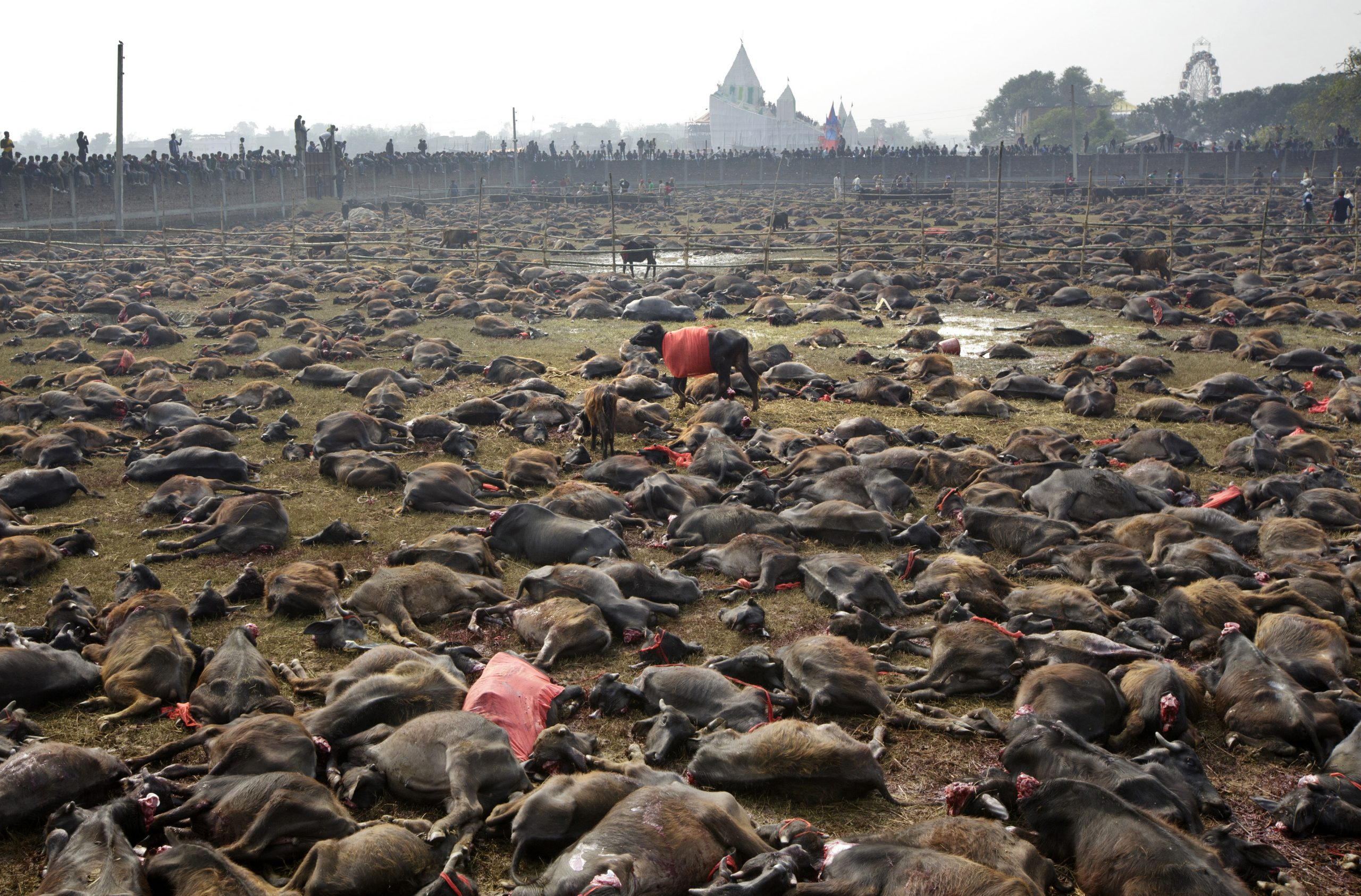 Decapitated animals at the Gadhimai Festival