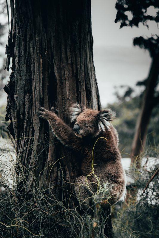 Koala holding onto tree