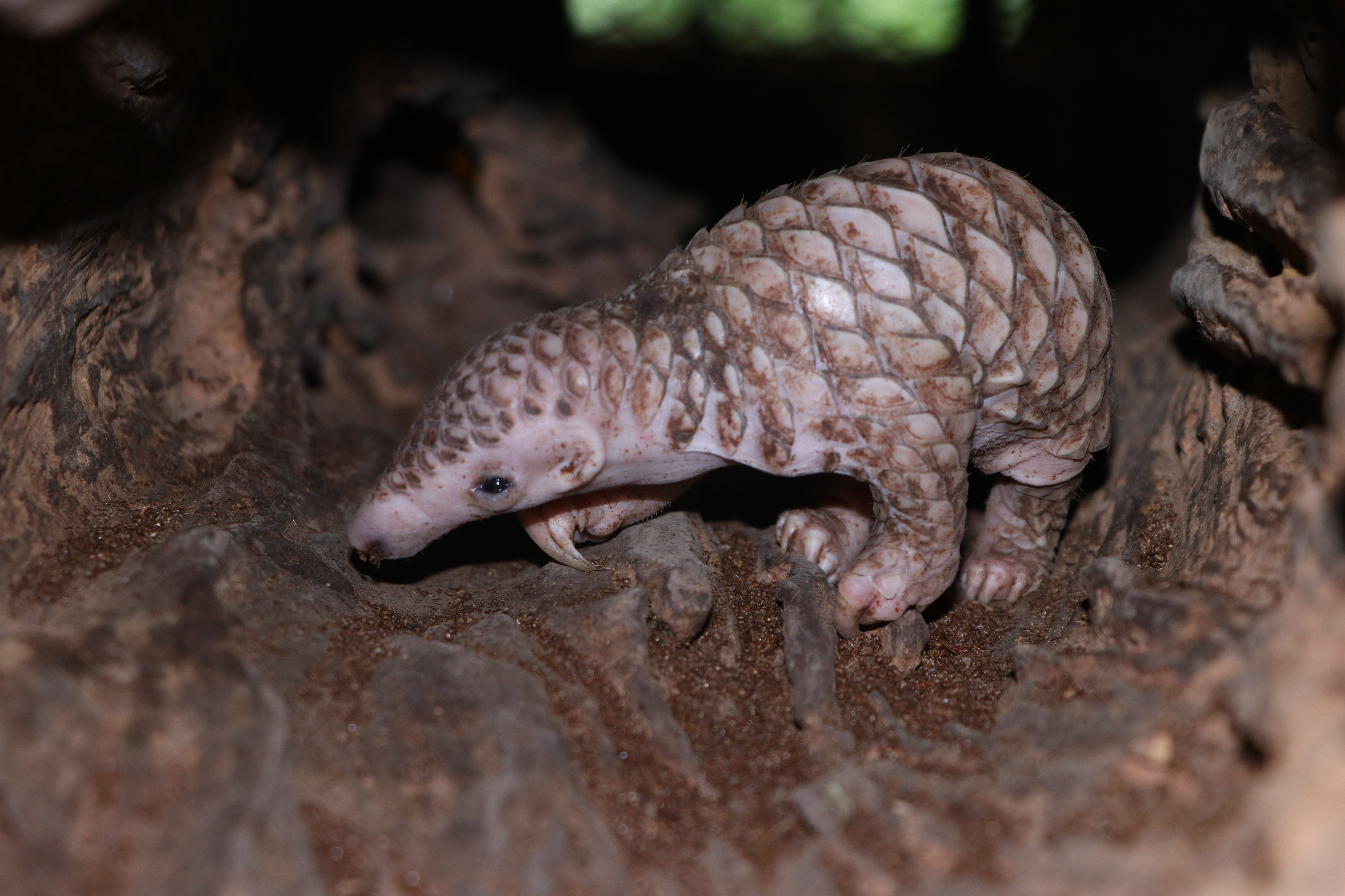 baby pangolin