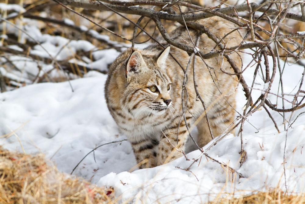 Bobcat in Wyoming