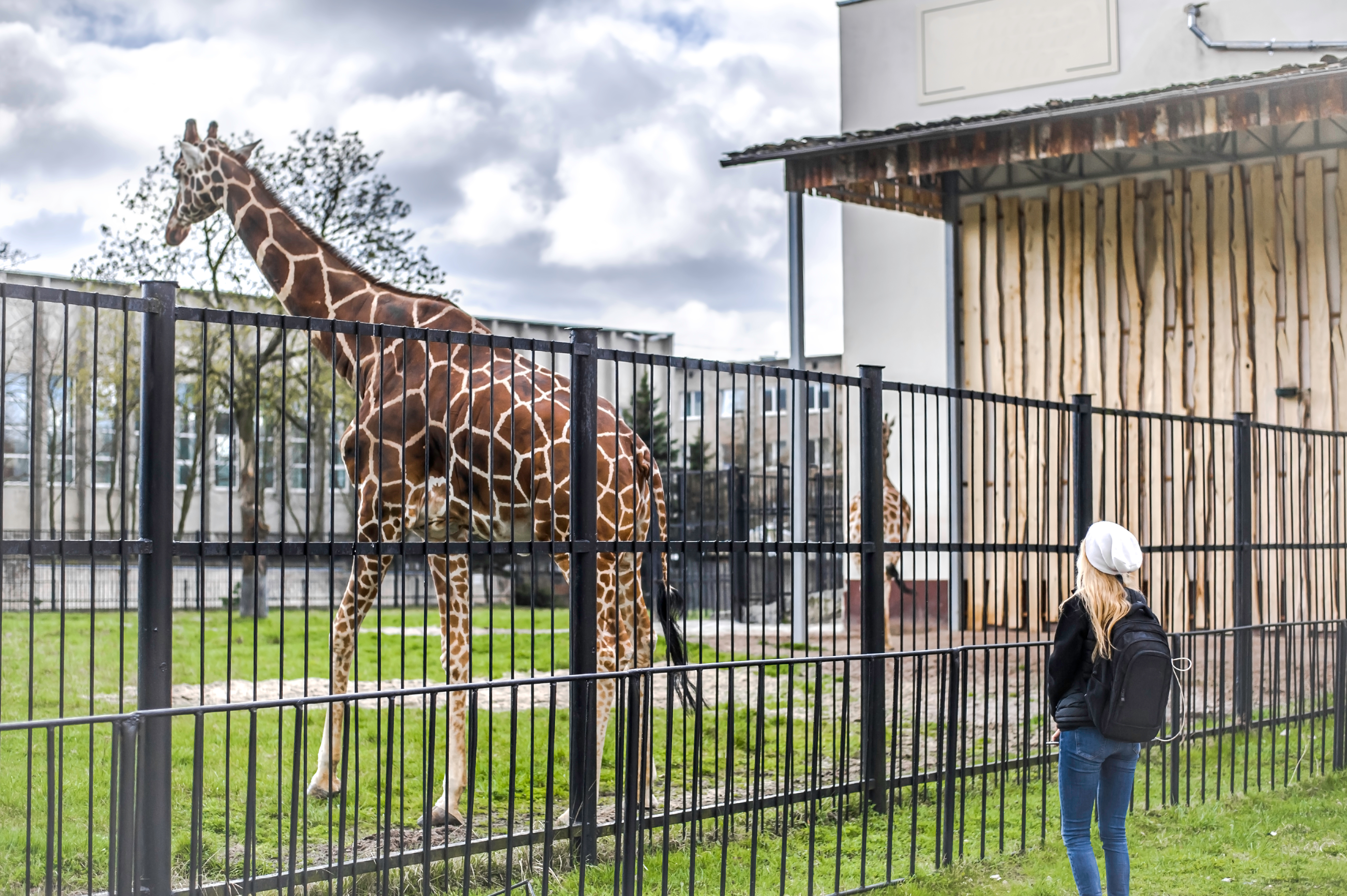 giraffe held captive with young woman looking at him from outside the gate