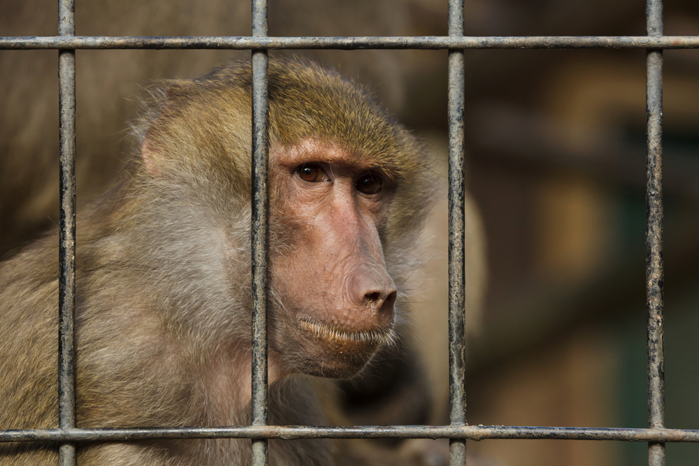 Sad baboon in a cage
