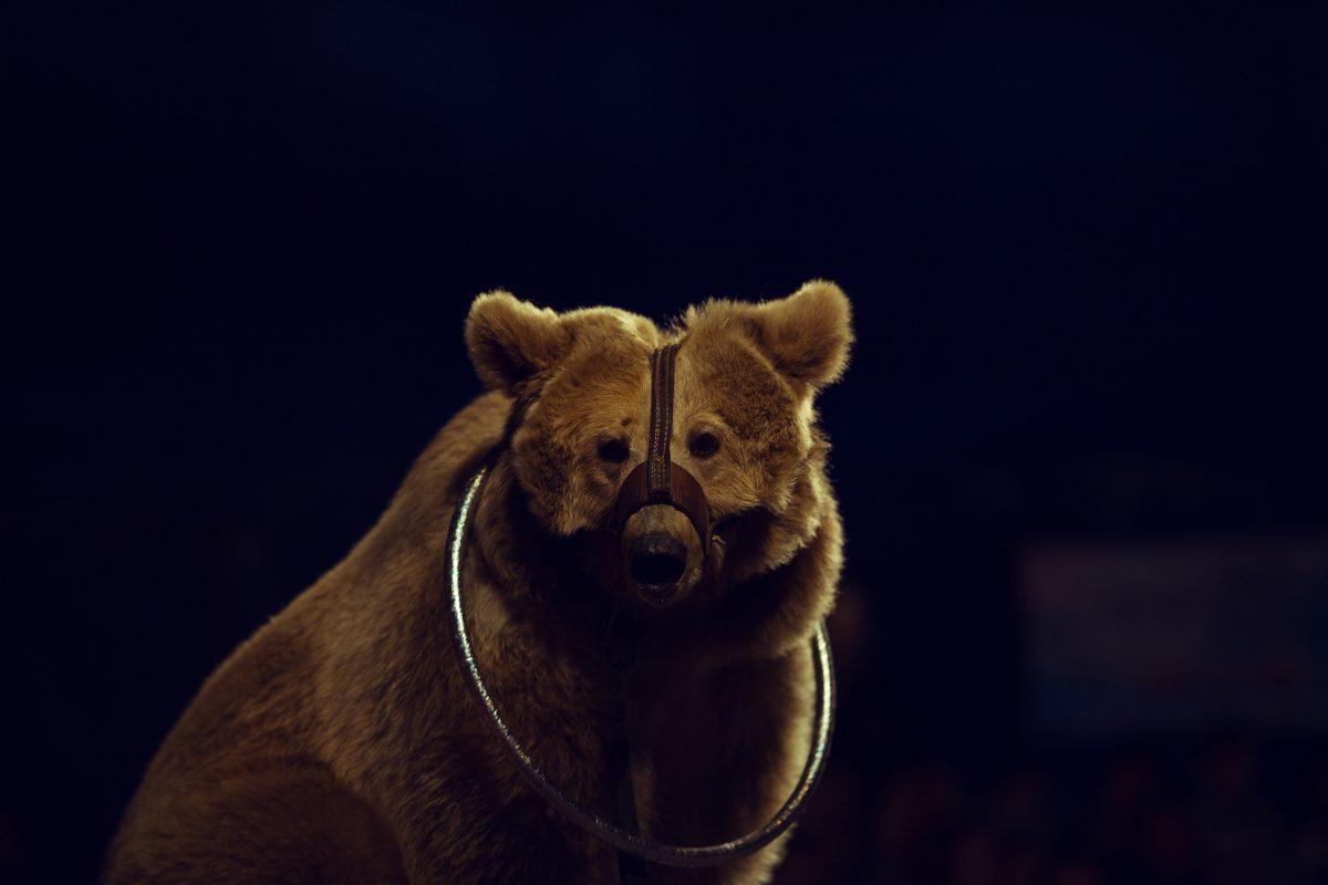 Muzzled bear in circus