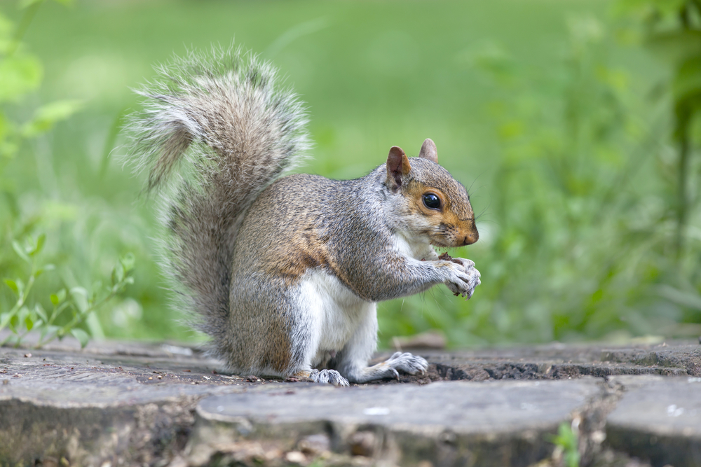 Petition: End the United Kingdom's Grey Squirrel Cull!