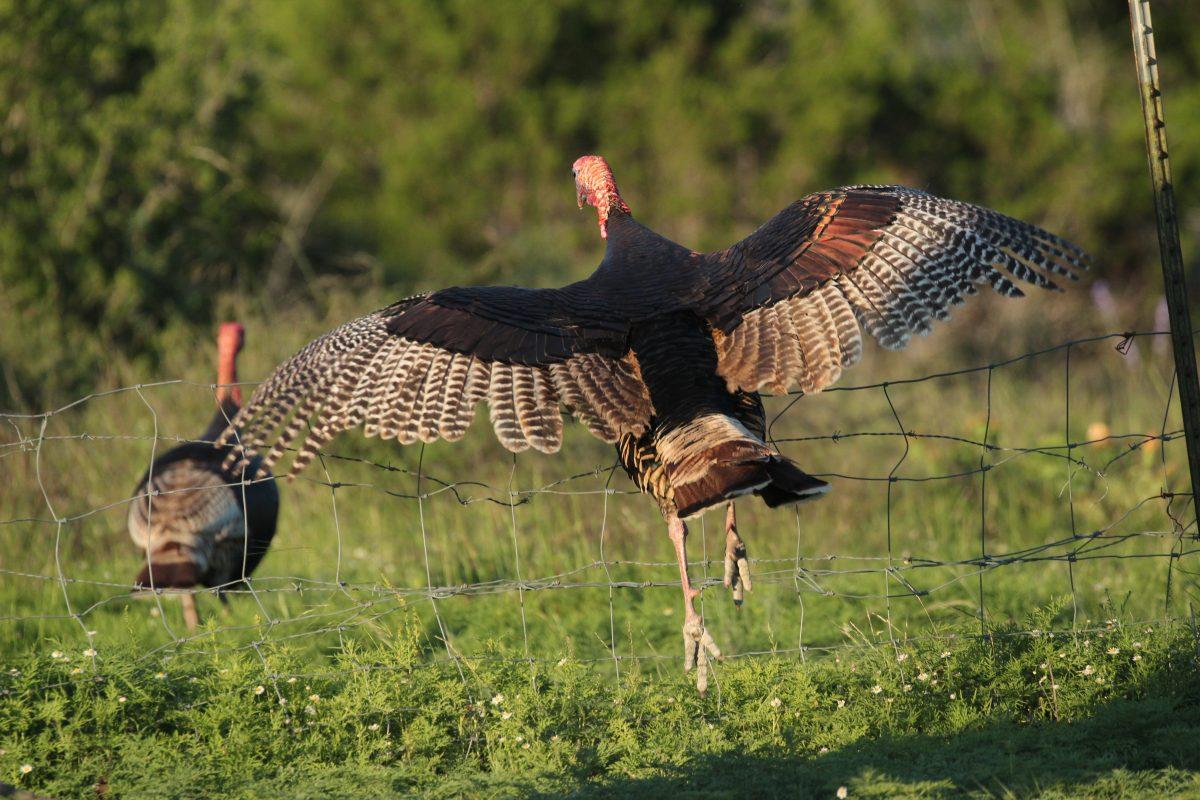 turkey spreading wings